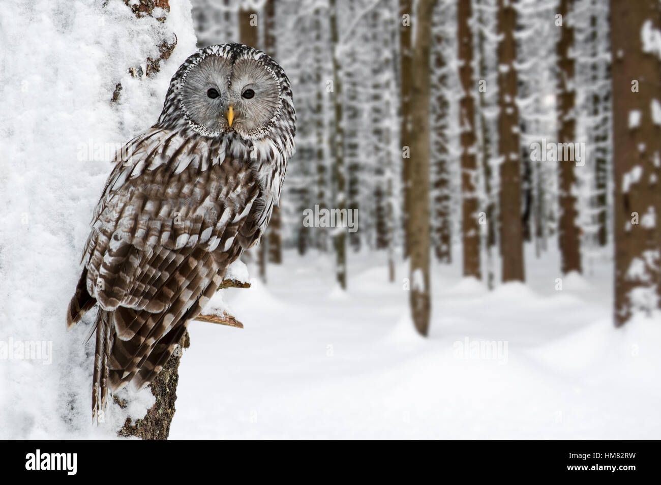 Ural owl (Strix uralensis) perched in tree in forest in the snow in winter - Stock Image
