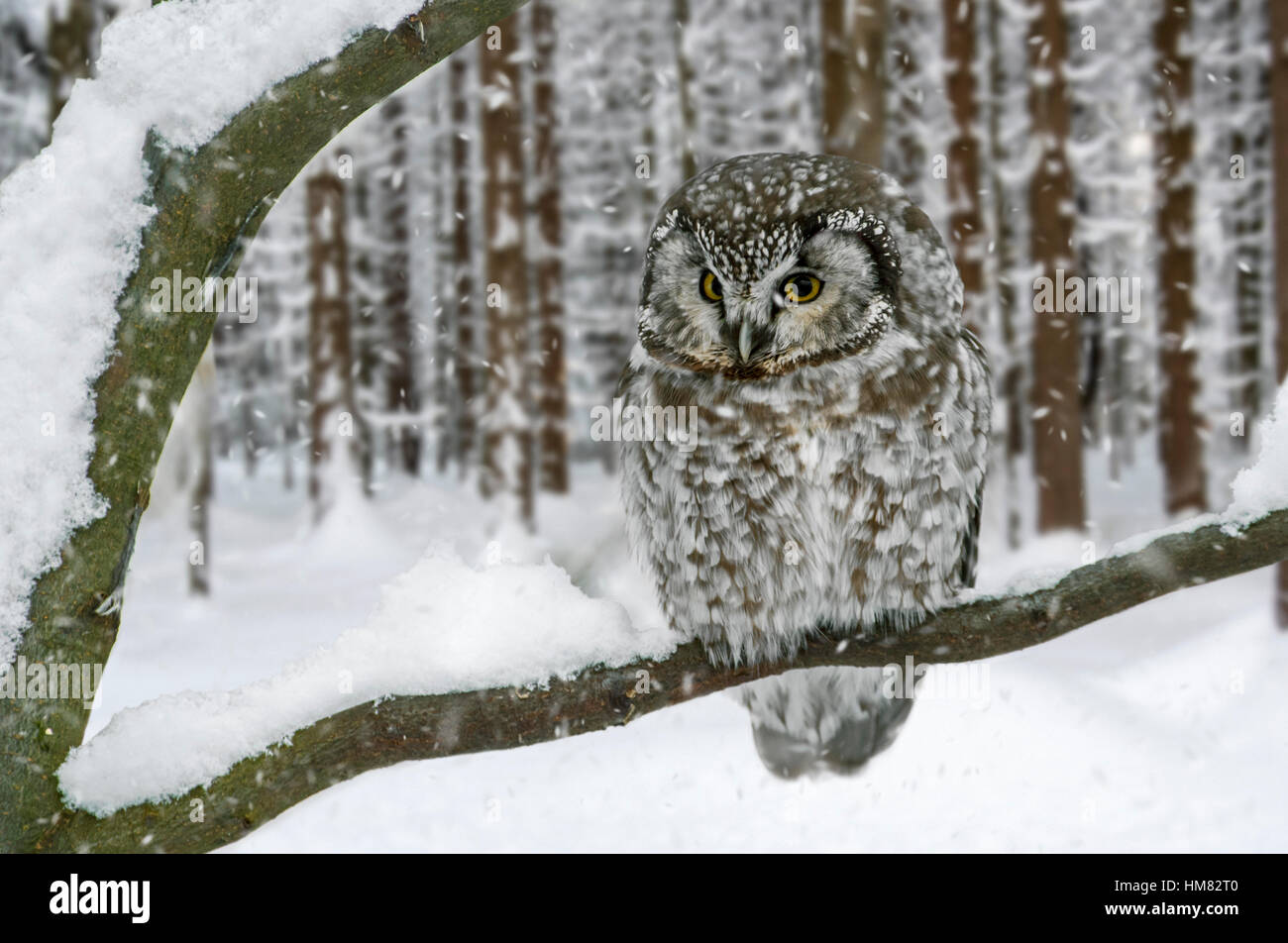 Tengmalm's owl / boreal owl (Aegolius funereus / Nyctala tengmalmi) perched in tree in pine forest during snow - Stock Image