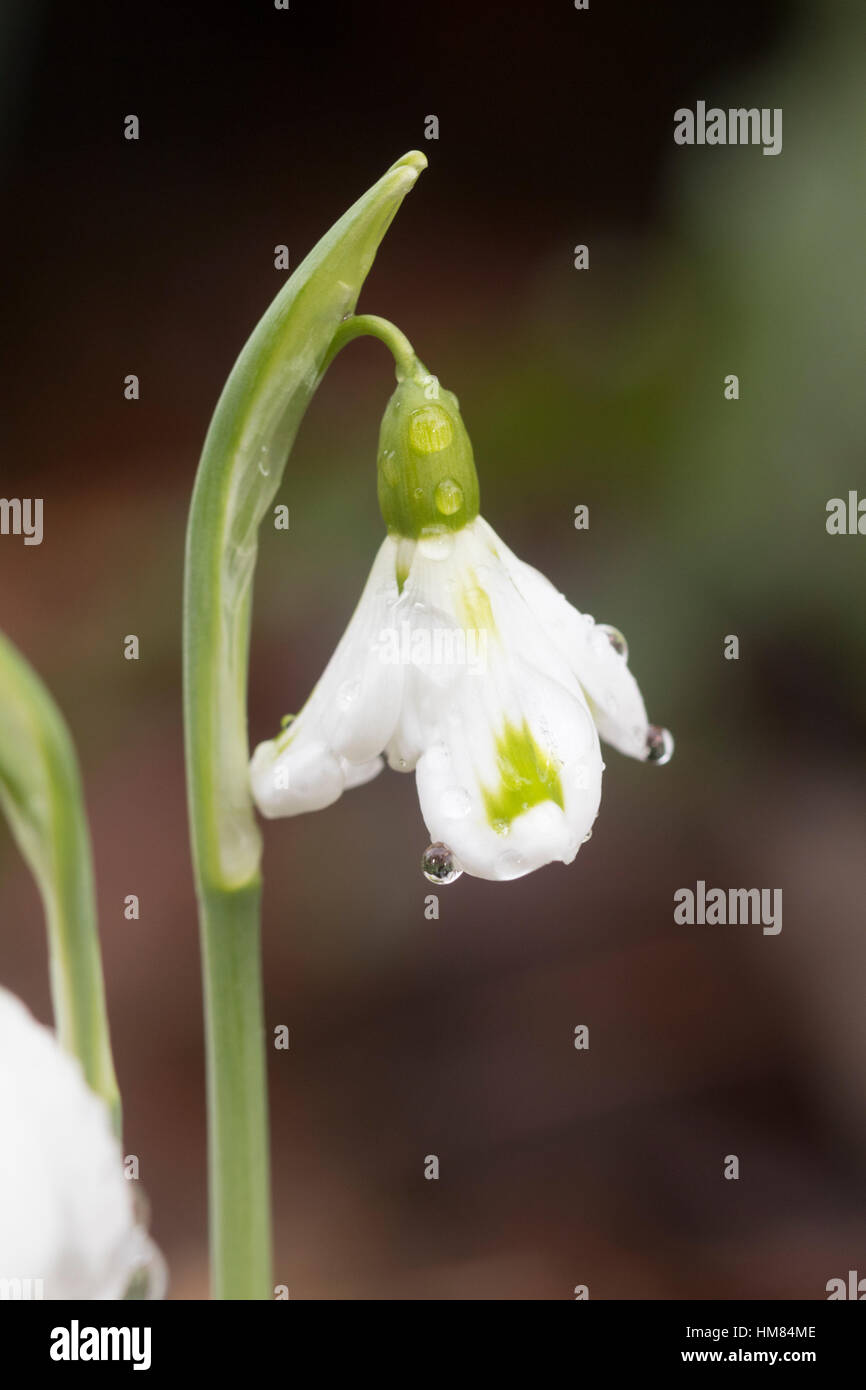 Green markings on the outer petals distinguish the unusual form of the Crimean snowdrop, Galanthus plicatus 'Trimmer' Stock Photo