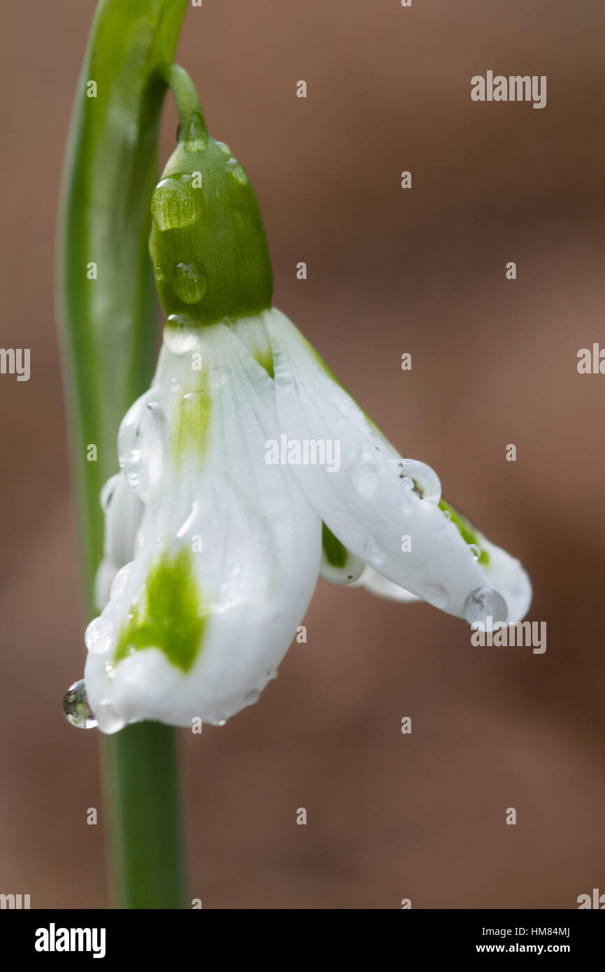 Green markings on the outer petals distinguish the unusual form of the Crimean snowdrop, Galanthus plicatus 'Trimmer' - Stock Image