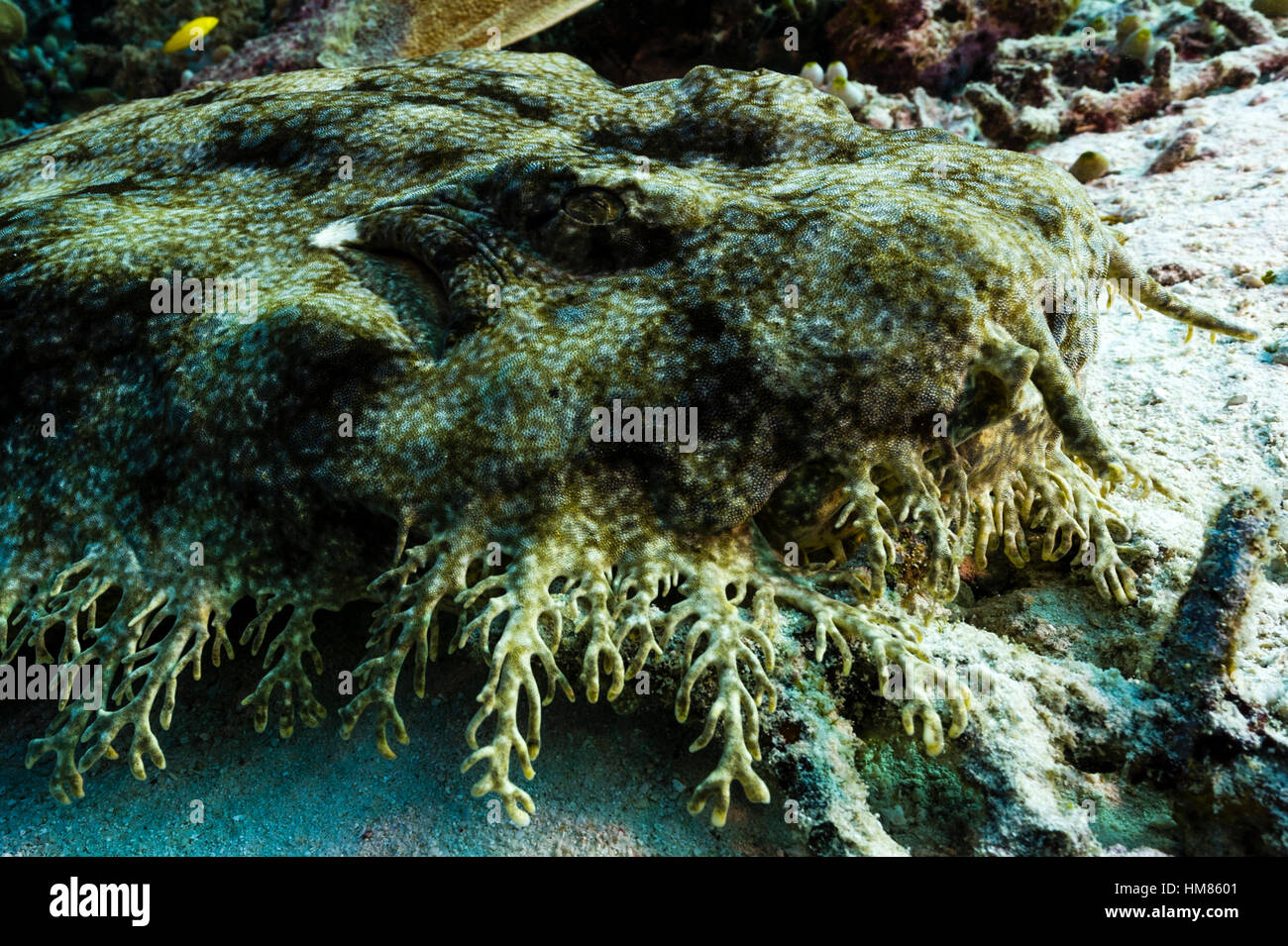 The Tasselled Wobbegong can be readily identified by the fringe of dermal lobes on its head. - Stock Image