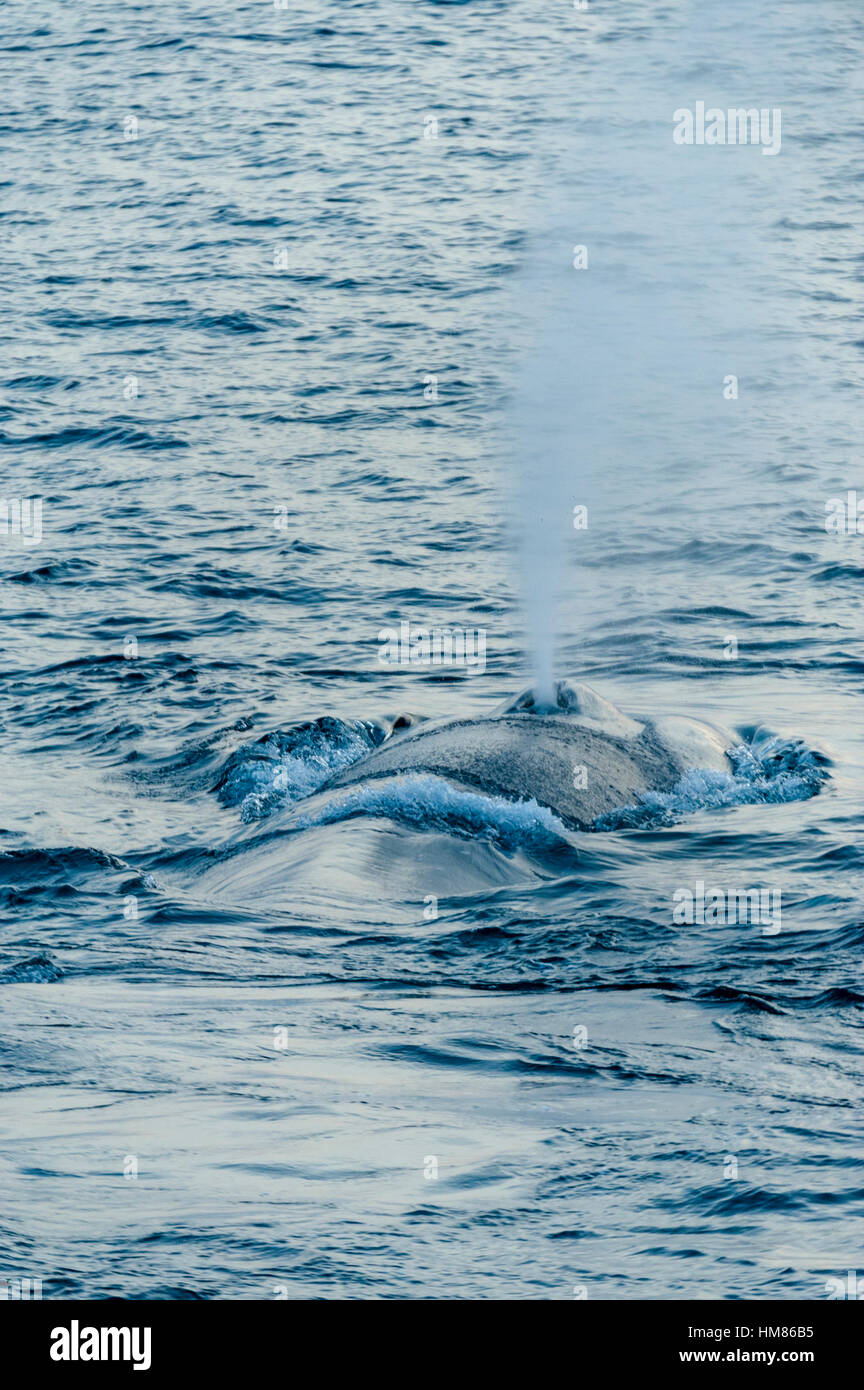 A gigantic Blue Whale surfaces to exhale and breathe through it's blowhole. - Stock Image