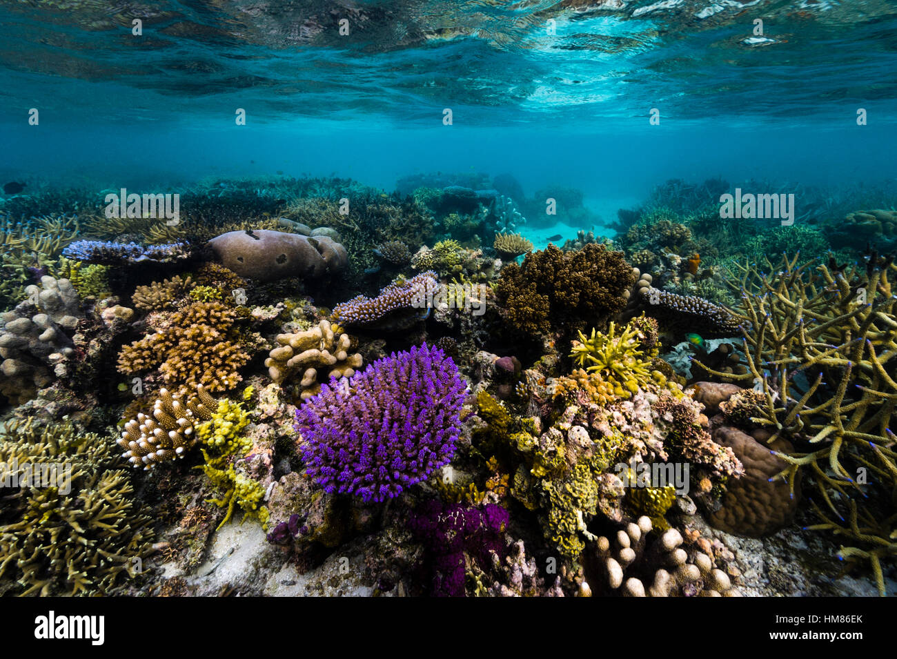 A bright purple hard coral sprouting from a flourishing tropical reef in shallow water. - Stock Image