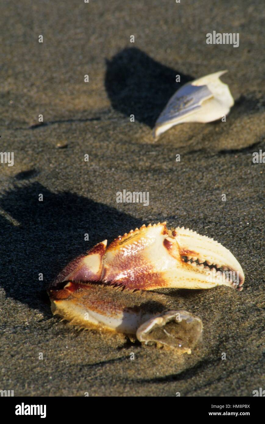 Dungeness crab (Cancer magister) claw, Cape Lookout State Park, Oregon. - Stock Image