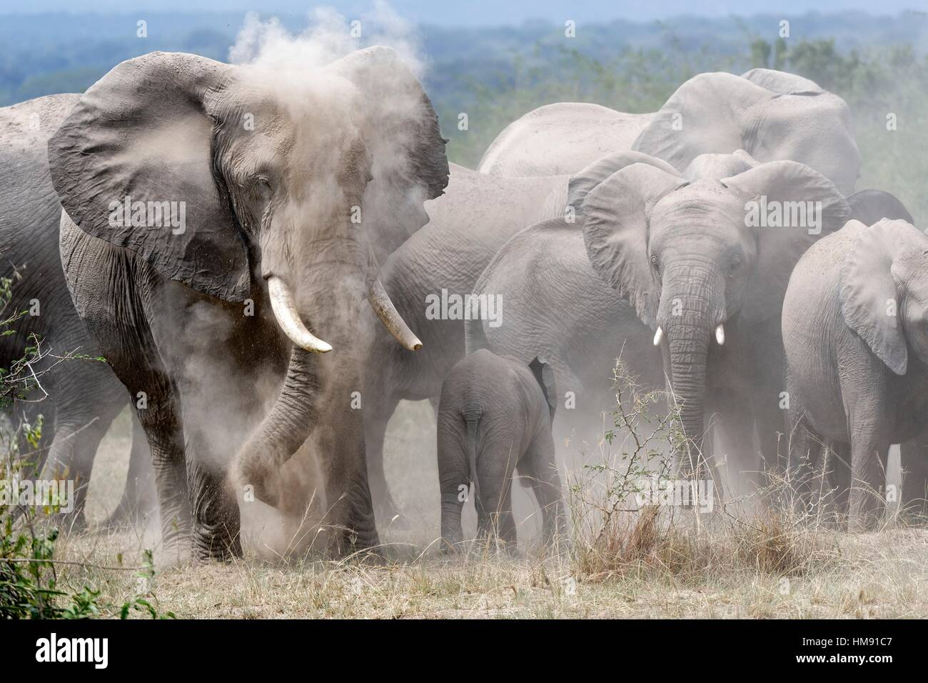 African elephant herd taking a dust. bath (Loxodonta africana) Queen Elizabeth National Park, Uganda, Africa. - Stock Image