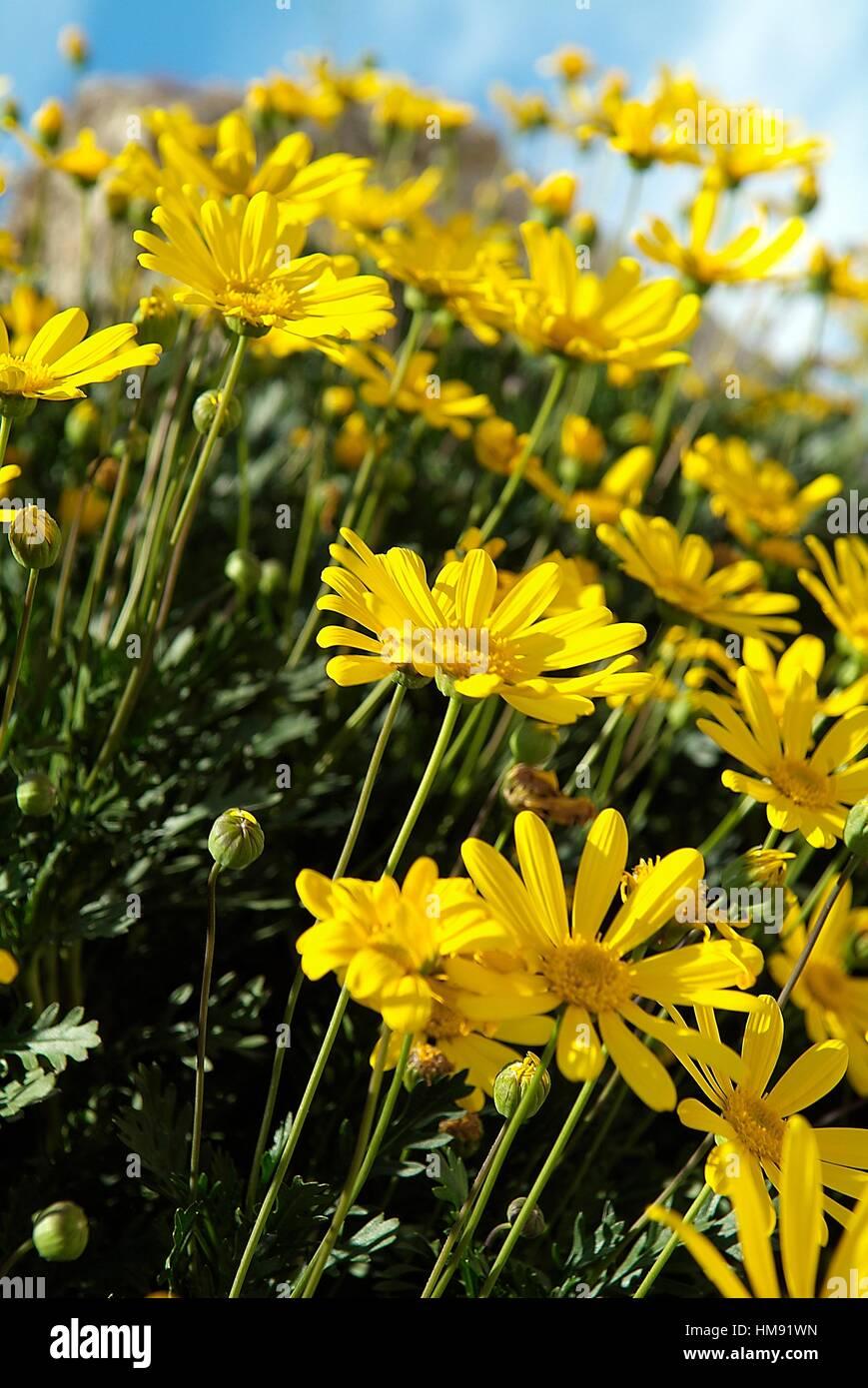 close up shot of yellow daisies field,location banyoles,girona,catalonia,spain,europe,. - Stock Image