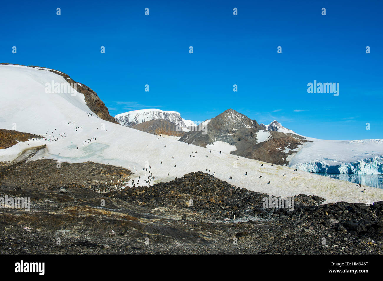 Adelie penguin (Pygoscelis adeliae) colony in Hope Bay, Antarctica, Polar Regions Stock Photo
