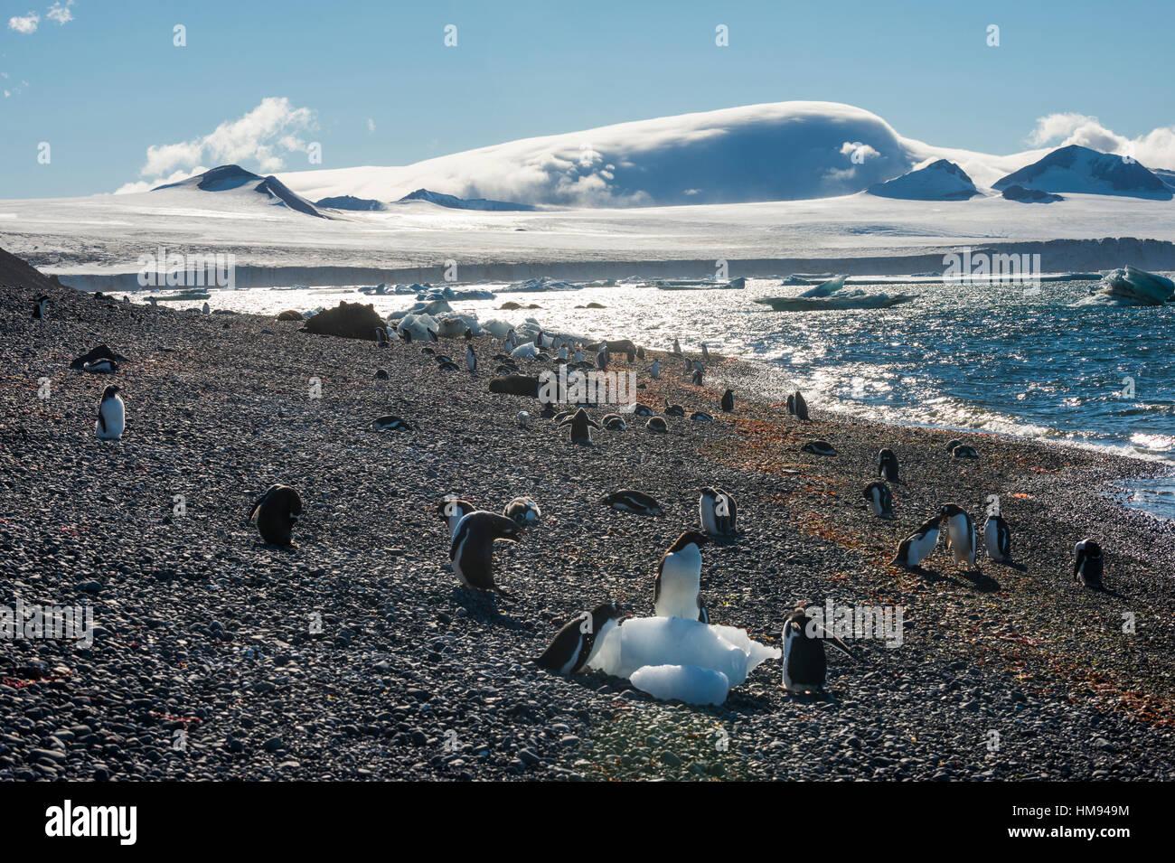 Adelie and gentoo penguins, Brown Bluff, Tabarin Peninsula, Antarctica, Polar Regions - Stock Image