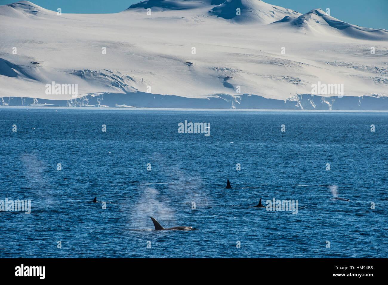 Killer whales (orcas) (Orcinus orca) hunting, Weddell, Sea, Antarctica, Polar Regions - Stock Image