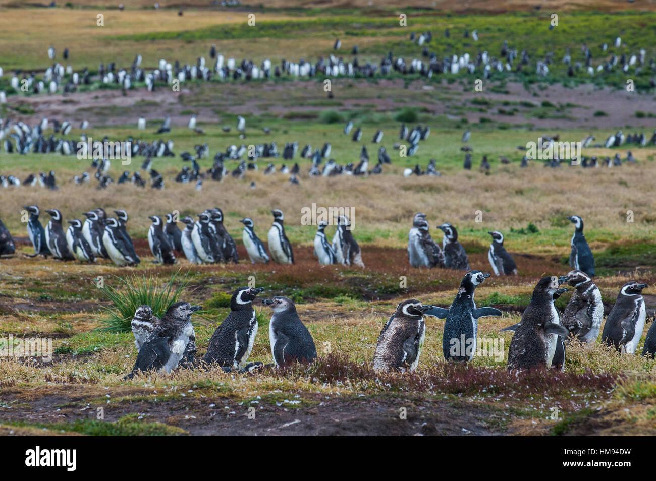 Magellanic penguin (Spheniscus magellanicus) colony, Carcass Island, West Falklands, Falkland Islands, South America - Stock Image