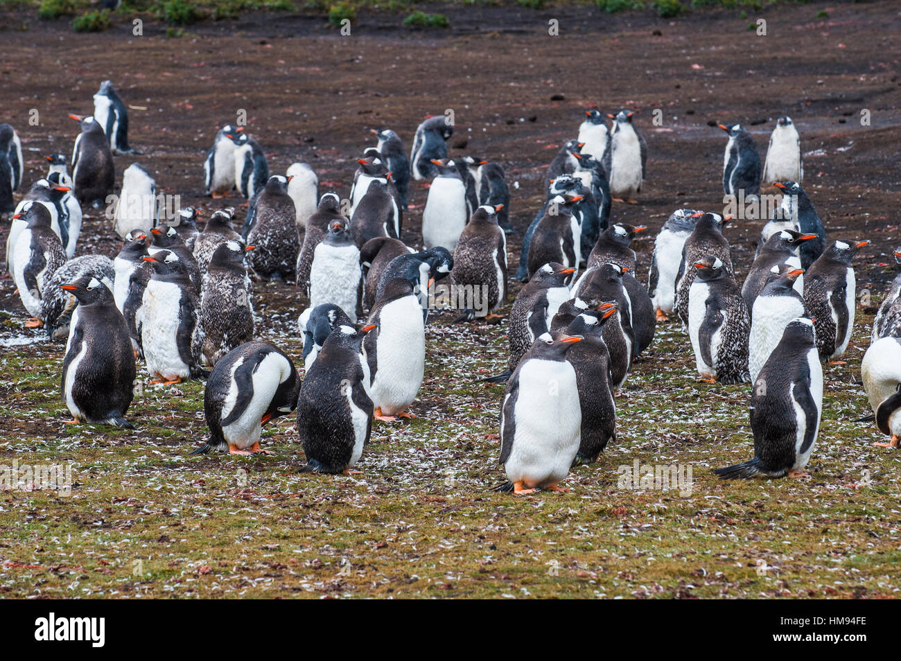 Magellanic penguin (Spheniscus magellanicus) colony, Carcass Island, West Falklands, Falkland Islands, South America - Stock Image