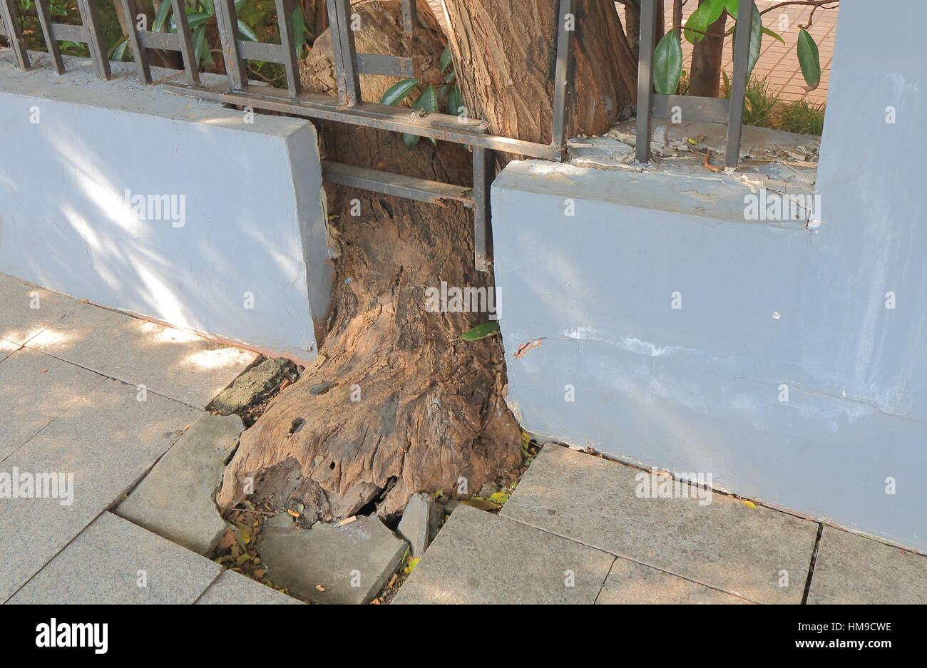 Structural damage caused by tree root in Shanghai China. - Stock Image