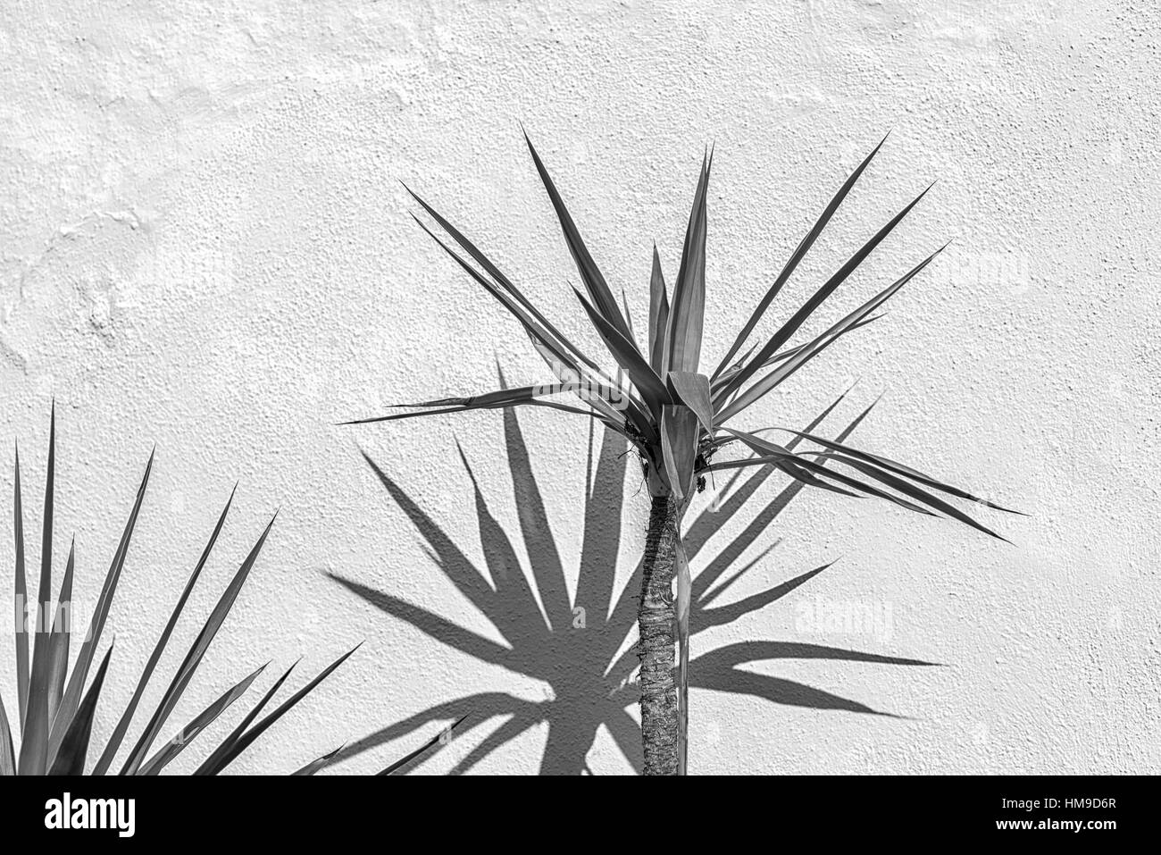 Close up of palm trees casting shadows against a concrete wall. - Stock Image