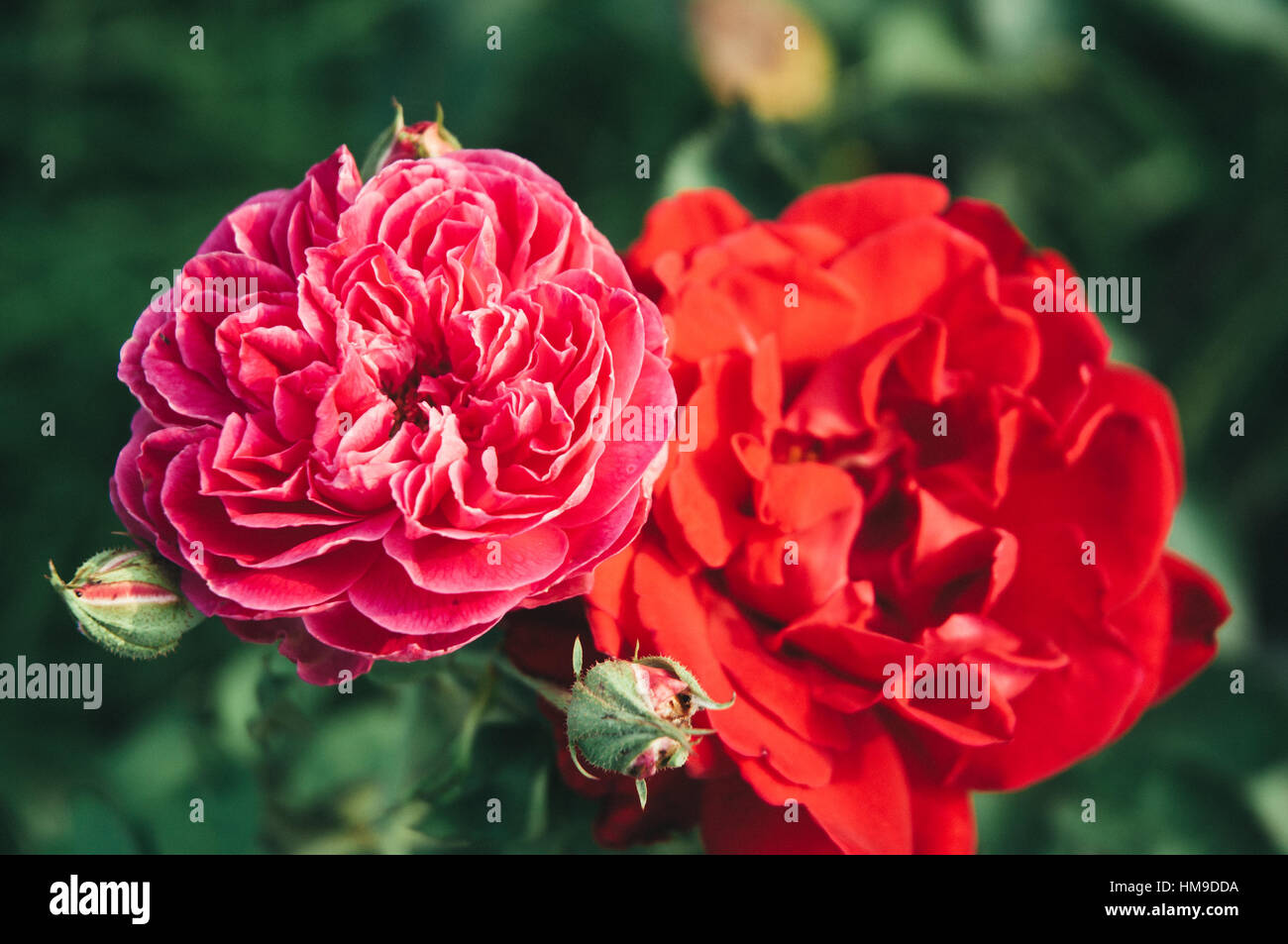 Red roses in the garden - Stock Image