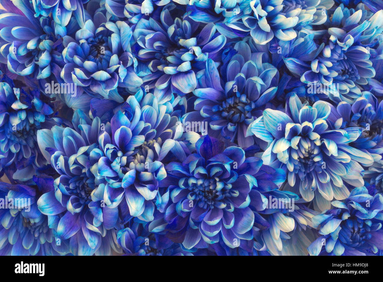 Beautiful Flower Background With A Lot Of Blue Chrysanthemums