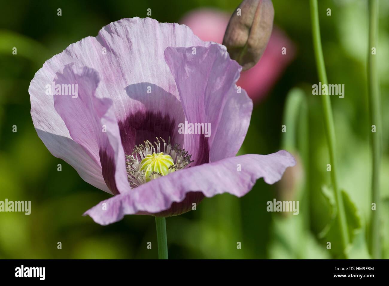 Schlaf-Mohn, Schlafmohn, Mohn, Papaver somniferum, Opium Poppy - Stock Image