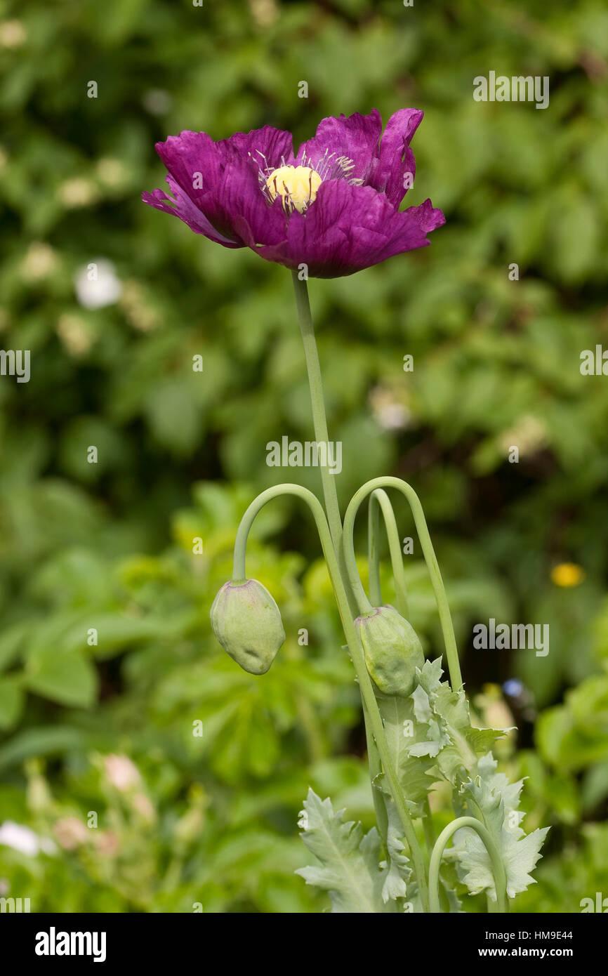 Schlafmohn, Schlaf-Mohn, Mohn, Papaver somniferum, Opium Poppy - Stock Image