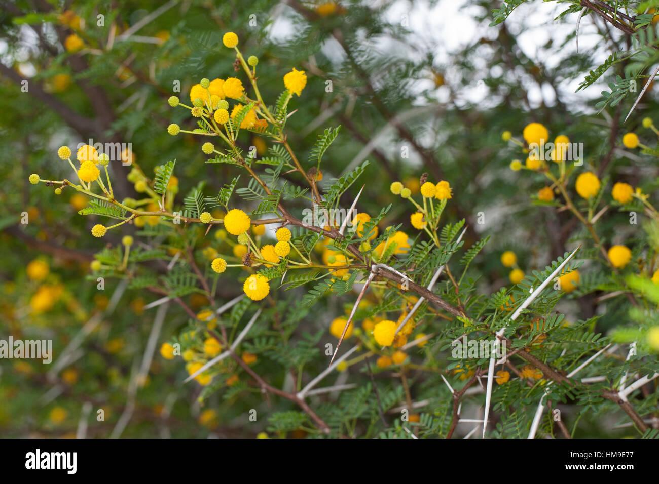 Schreckliche Akazie Dornen Dorn Acacia Karroo Acacia Karoo Stock