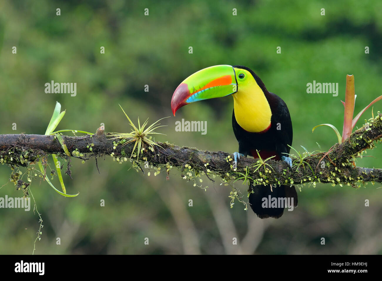 Keel- Billed Toucan in Costa Rica tropical Rain forest - Stock Image