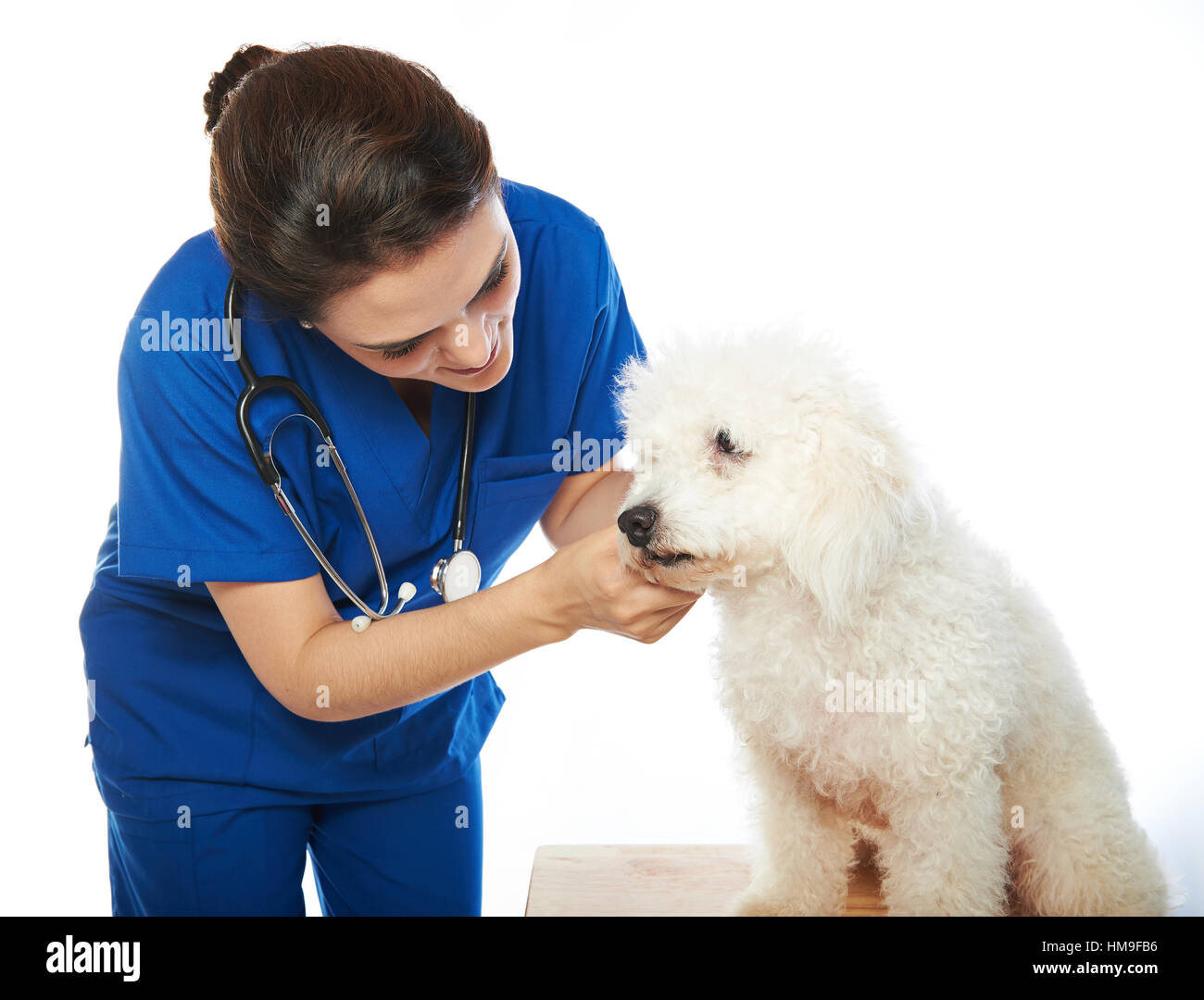 white poodle in veterinary check by woman nurse isolated on white - Stock Image