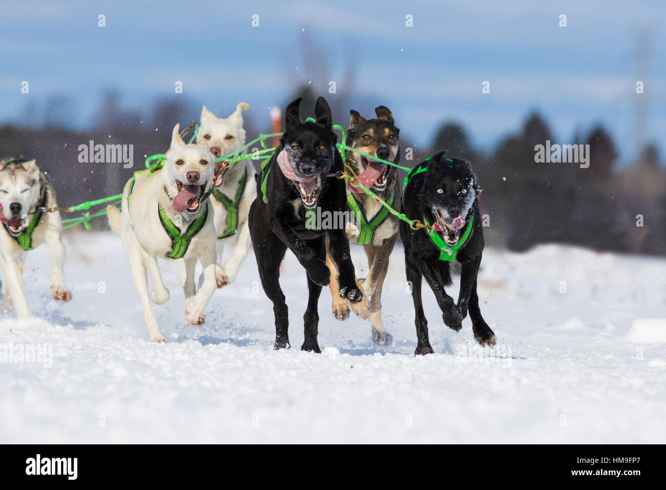 sledding dogs competition - Stock Image