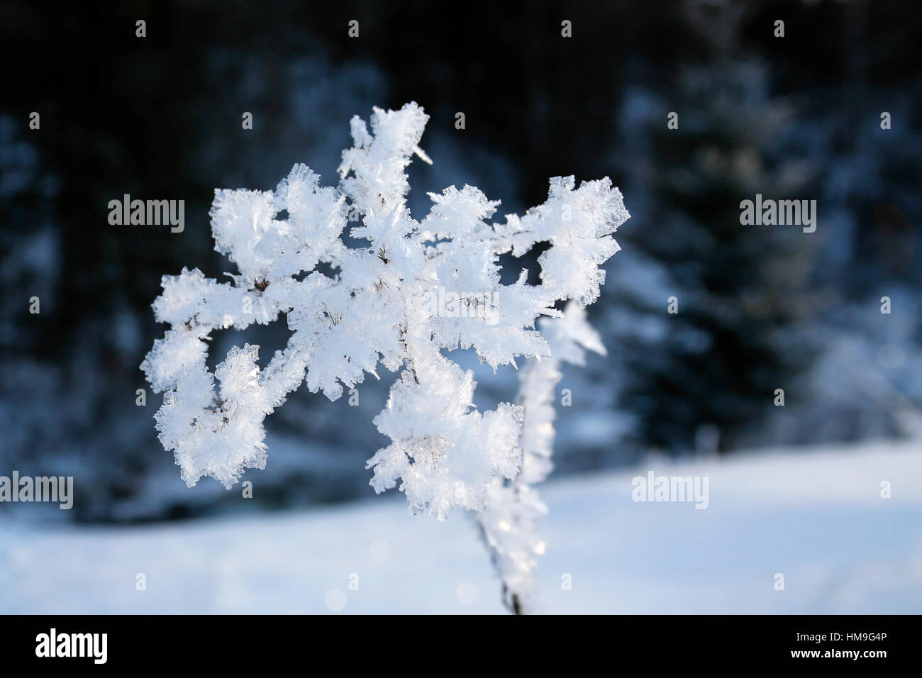 beautiful flower with frozen ice crystals - Stock Image