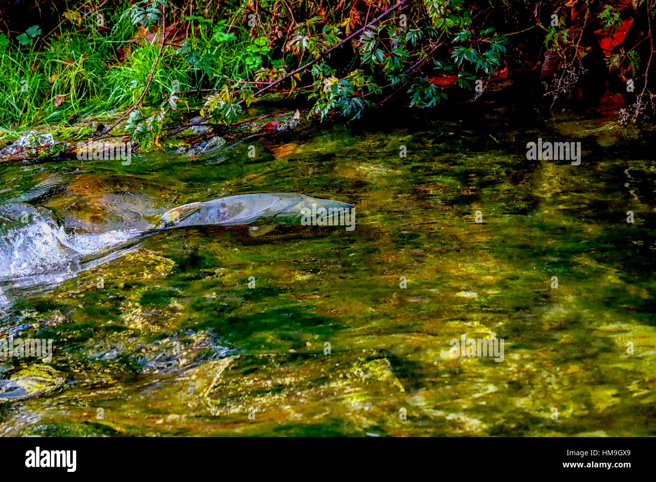 Wildlife in Vancouver BC - Pacific salmon fast swimming in the river, Mission 4. - Stock Image