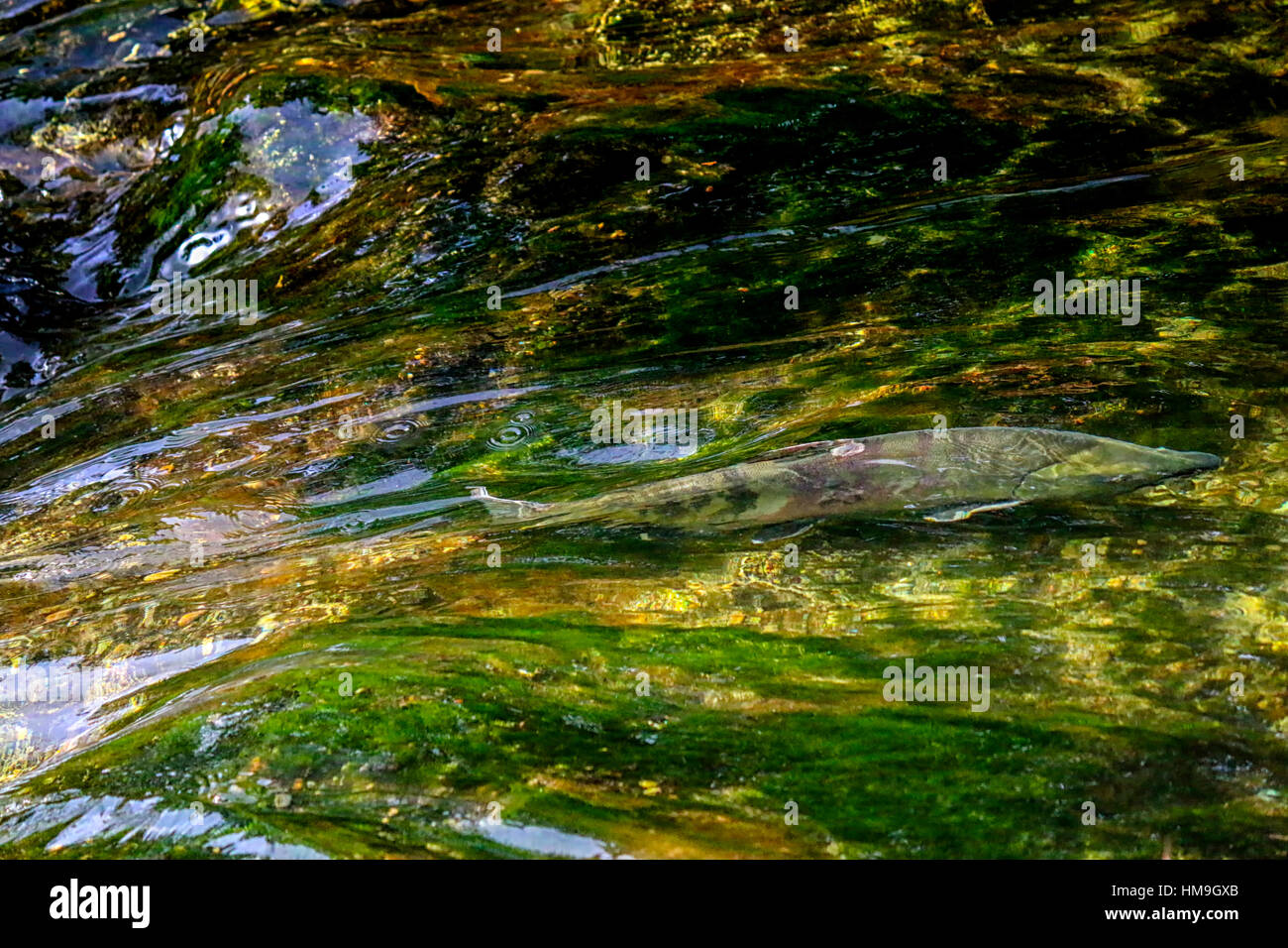 Wildlife in Vancouver BC - Pacific salmon fast swimming in the river, Mission 3. - Stock Image