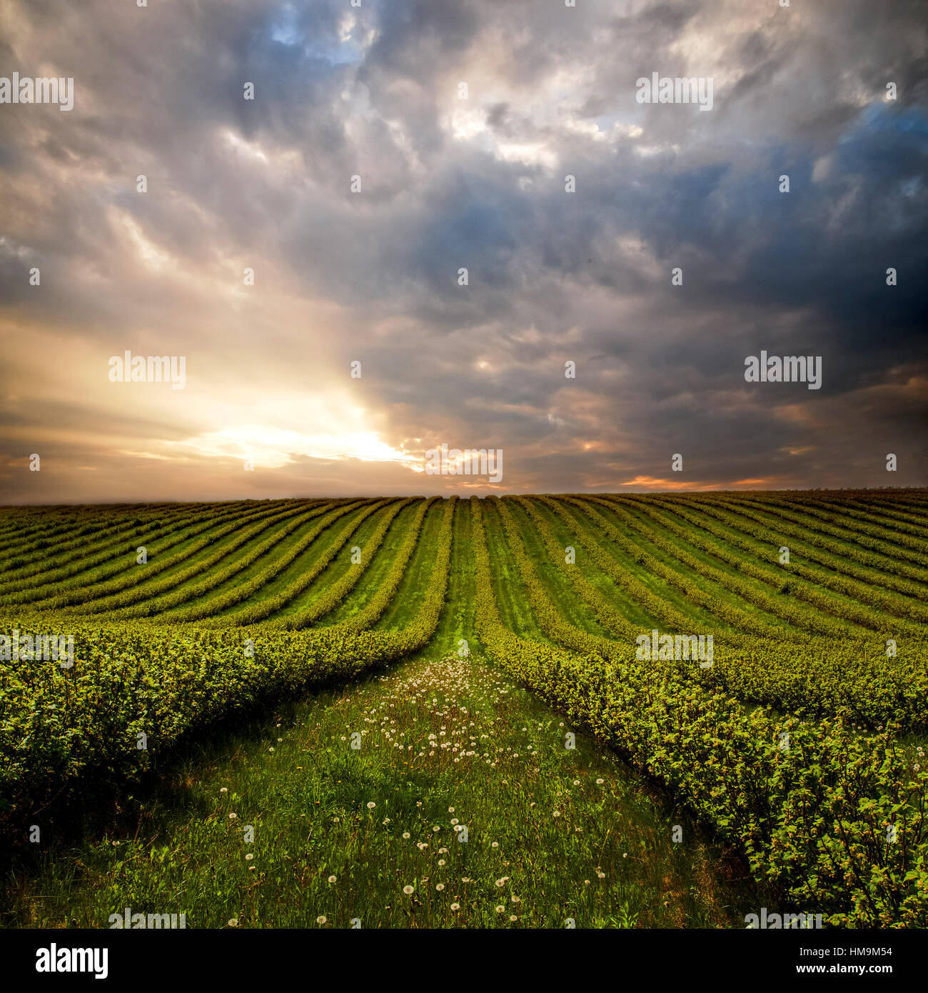 green field with bushes - Stock Image