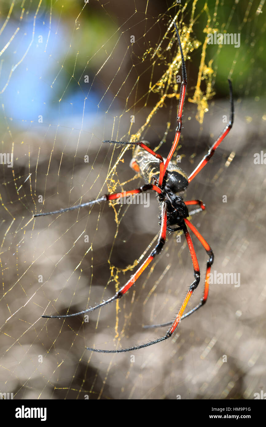Golden silk orb-weaver, Giant spider on web. Nosy Mangabe island, Toamasina province, Madagascar wildlife and wilderness Stock Photo