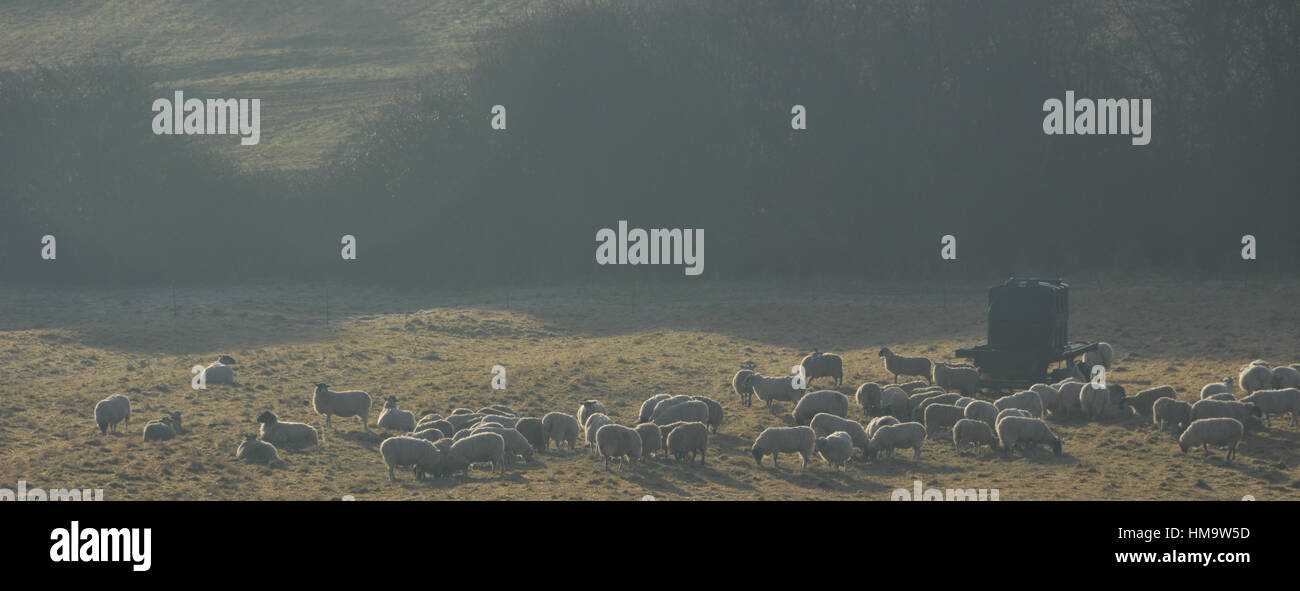 Flock of sheep in mist, Hook Norton, Oxfordshire - Stock Image