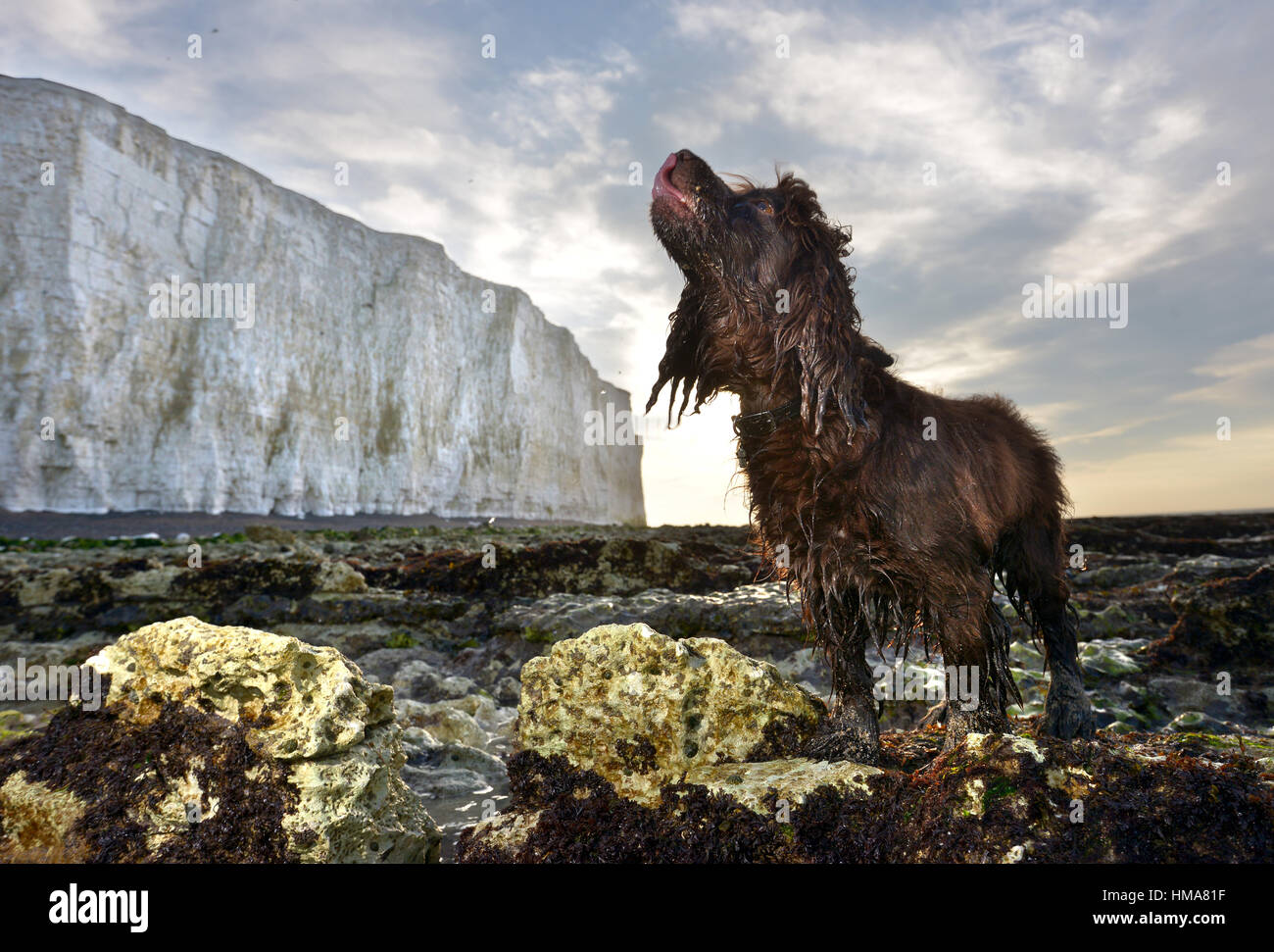 Birling Gap, East Sussex. 2nd February 2017. Wet cocker spaniel, Fudge, at sunrise below the cliffs at Birling Gap, - Stock Image