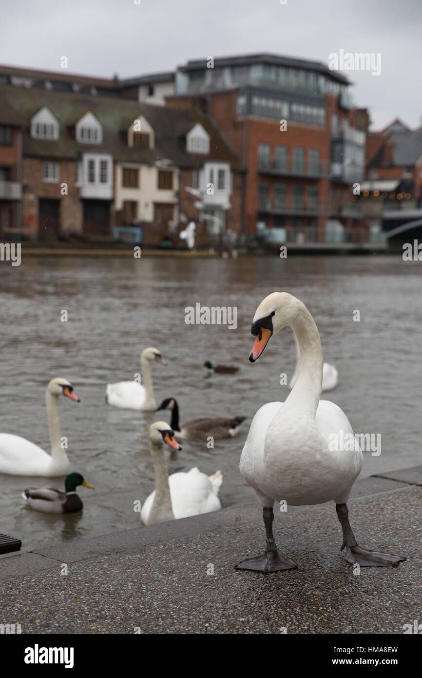 Windsor, UK. 2nd February, 2017. Thames Valley Police are appealing for witnesses following the shooting of twelve Stock Photo
