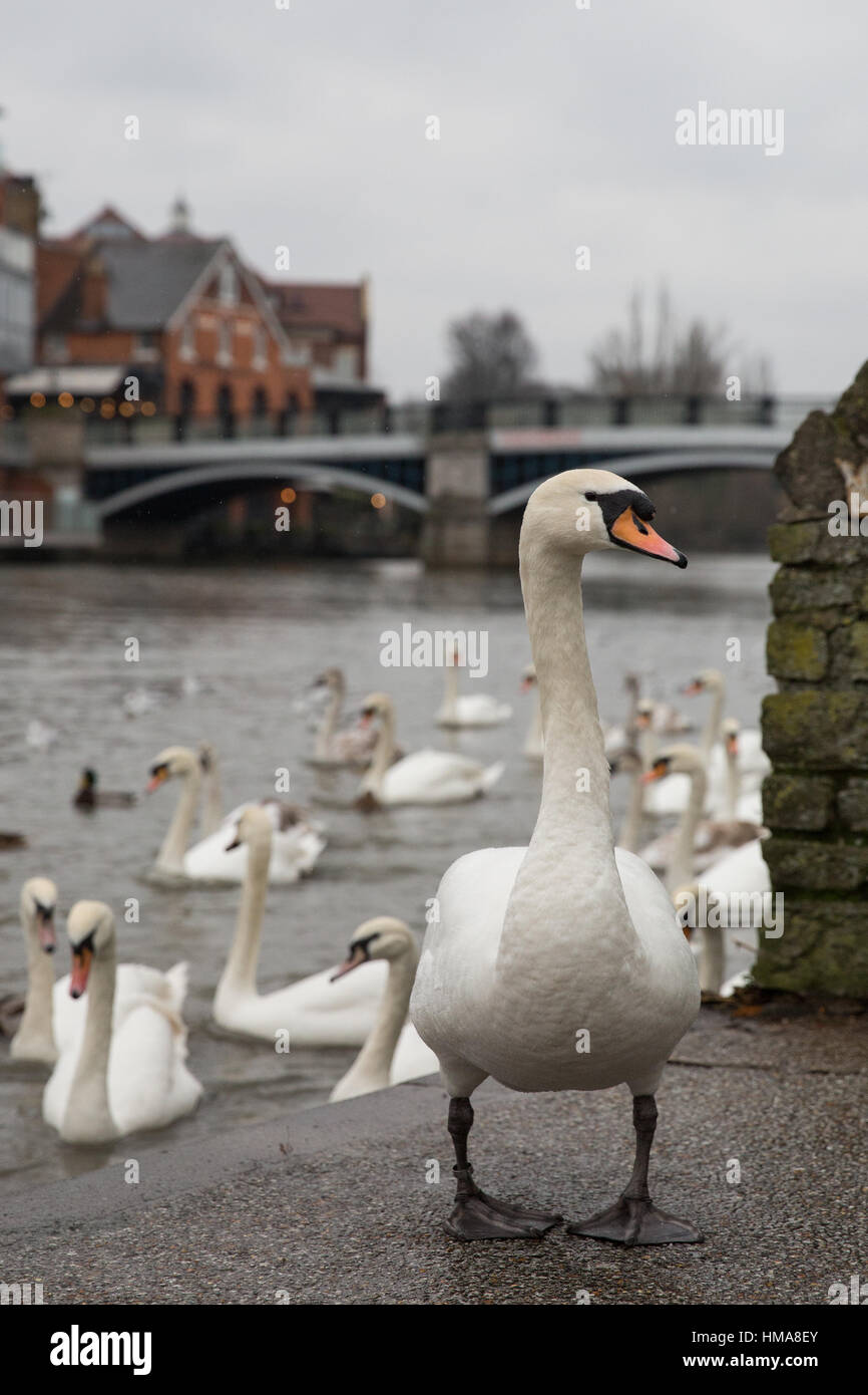 Windsor, UK. 2nd February, 2017. Thames Valley Police are appealing for witnesses following the shooting of twelve - Stock Image