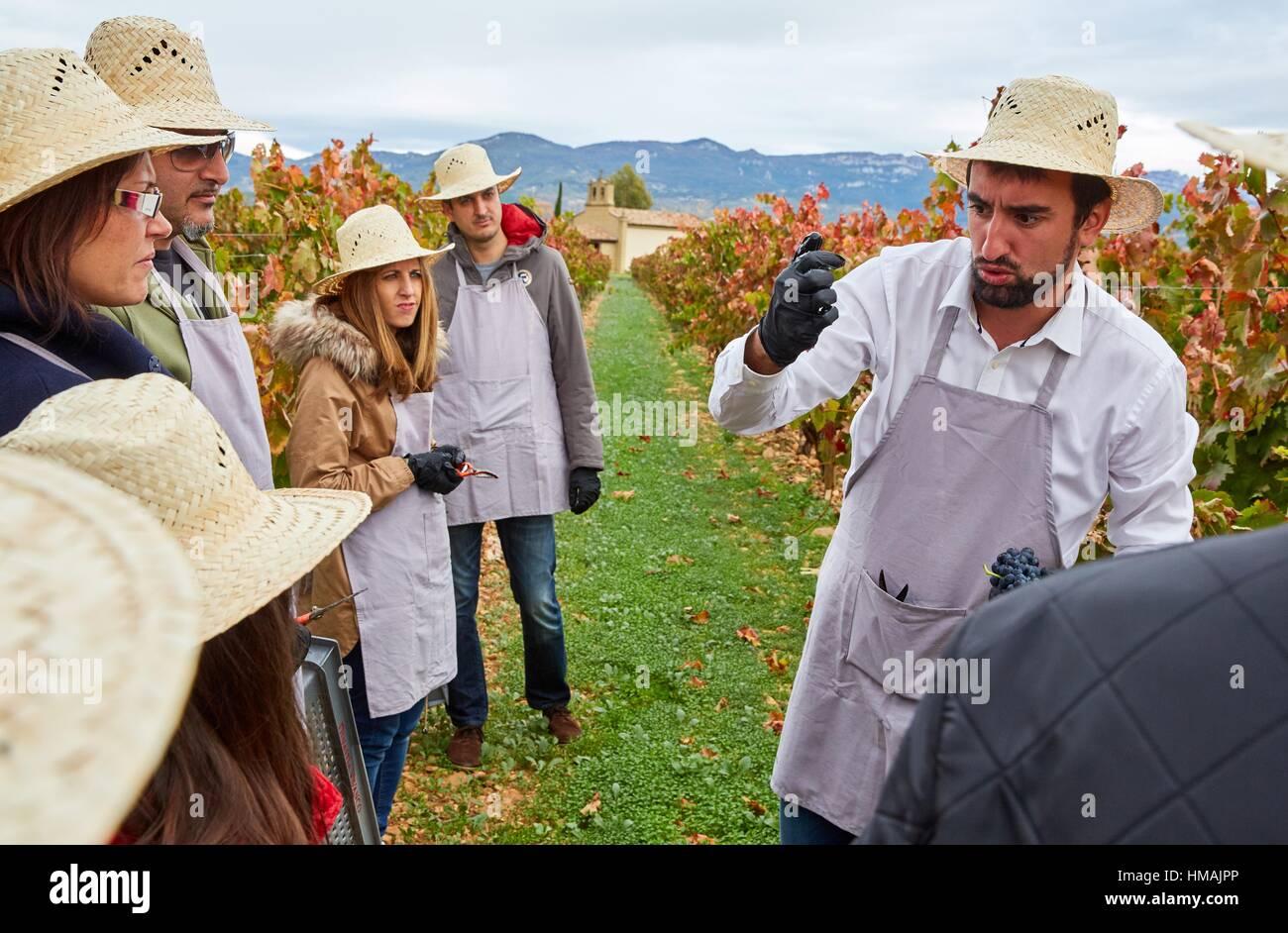 Grape harvest, Tourism in vintage practices in vineyards, Briones, La Rioja, Spain, Europe - Stock Image