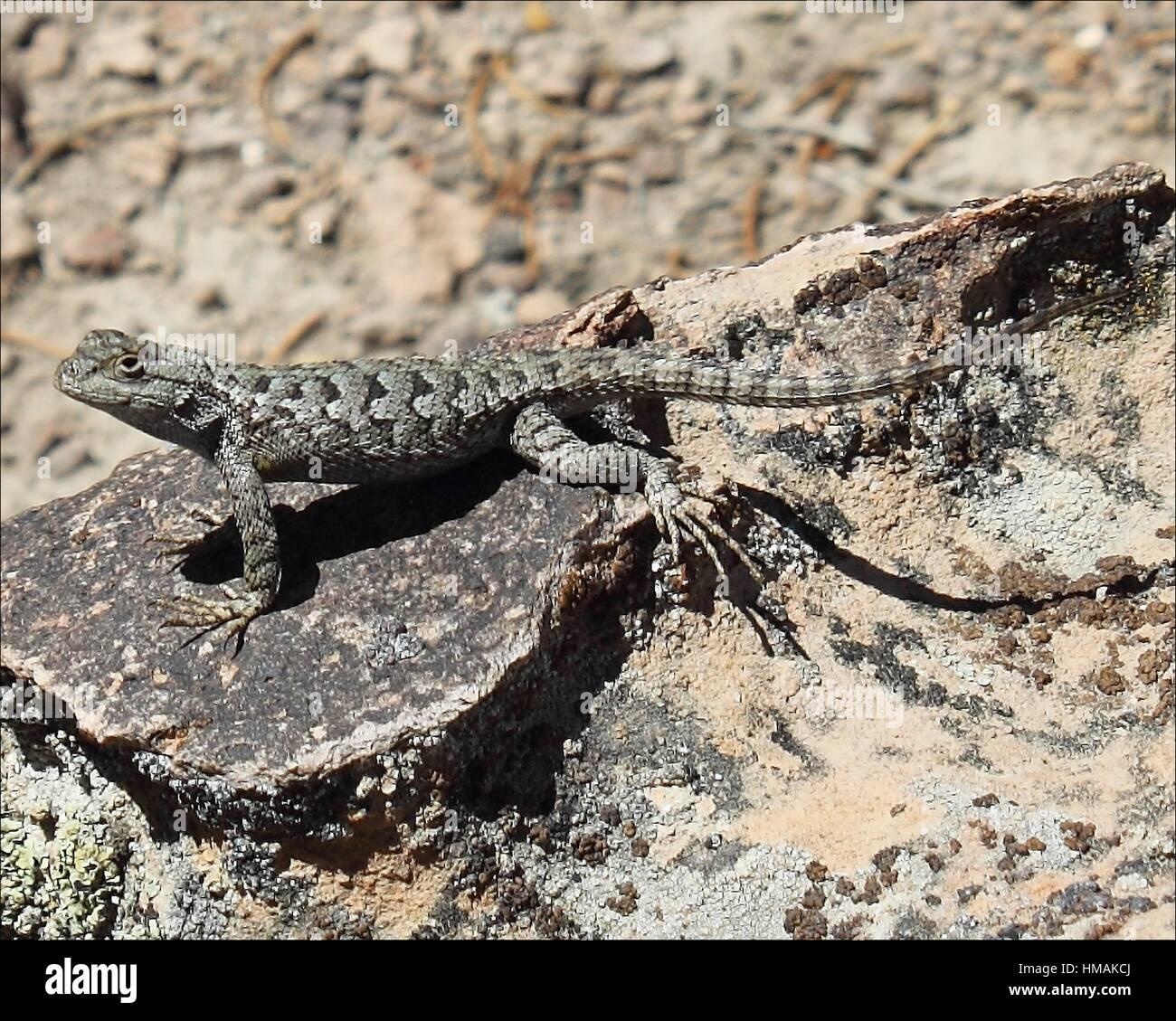A lizard suns itself on a warm rock in Elko, Nevada. - Stock Image