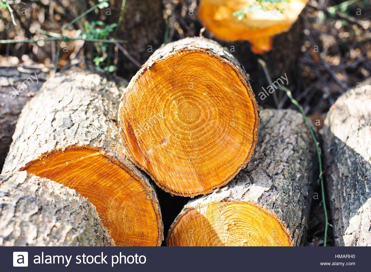 Wood logs cut in the forest - Stock Image