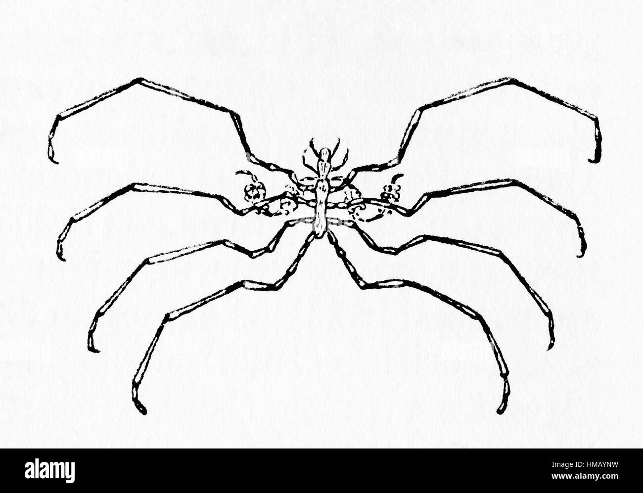 A Sea spider aka Pantopoda or pycnogonids.  Marine arthropods of class Pycnogonida.  From Meyers Lexicon, published - Stock Image