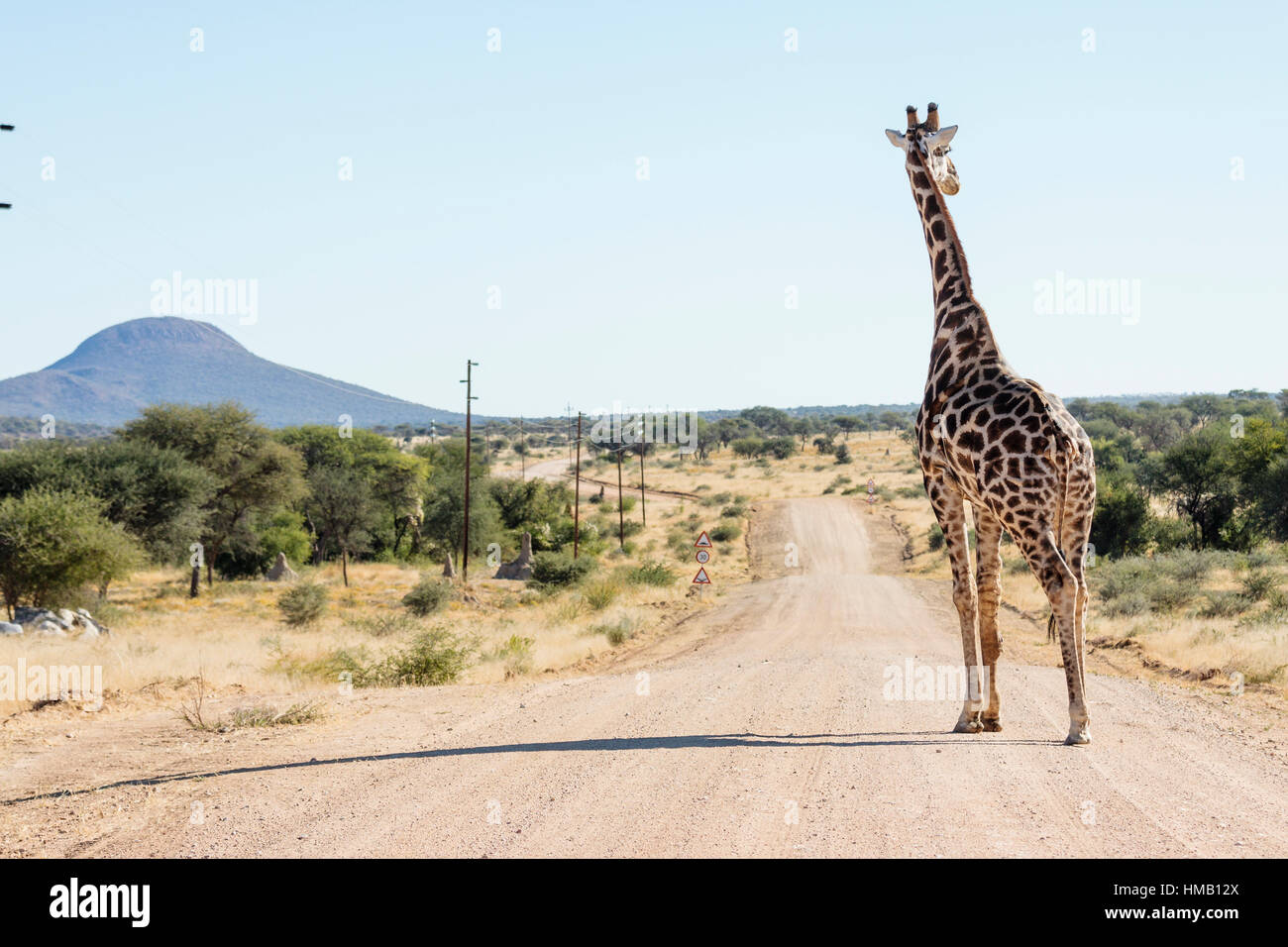 Northern giraffe (Giraffa camelopardalis) on a gravel road, Otjiwarongo, Namibia Stock Photo