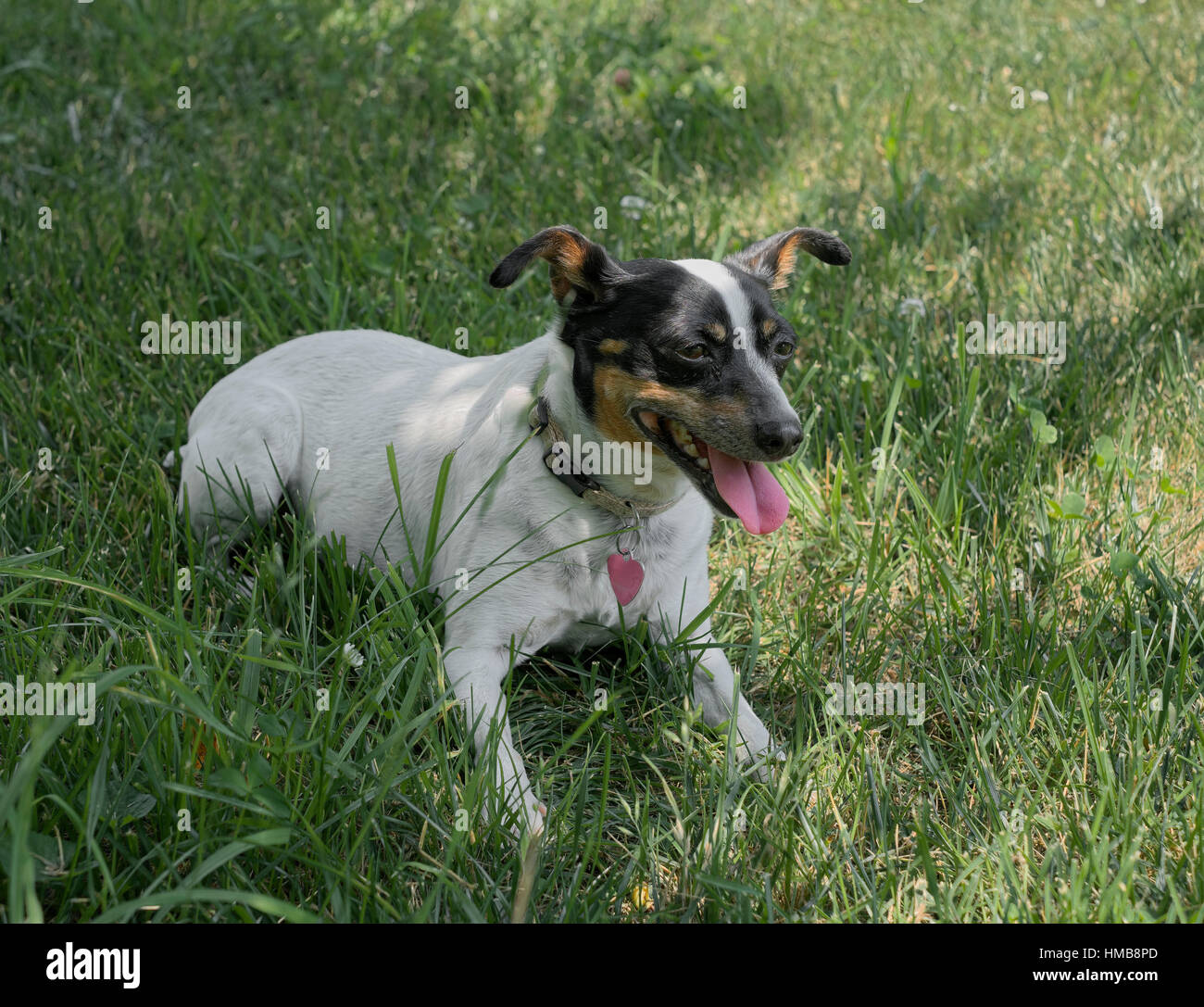Rat Terrier dog in grass with tongue hanging out in hot summer weather. - Stock Image