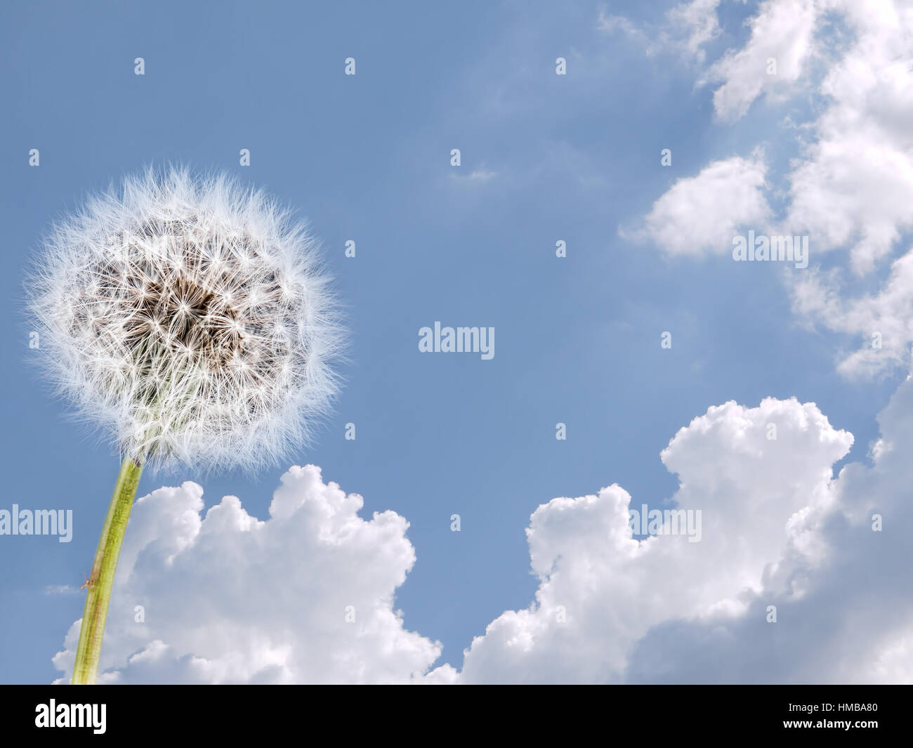 Dandelion and sky. Weather, clean air air concept. - Stock Image