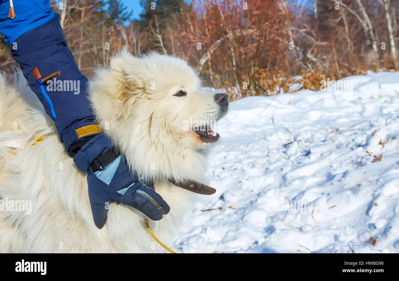 White fluffy Samoyed dog howls. close up portrait. - Stock Image