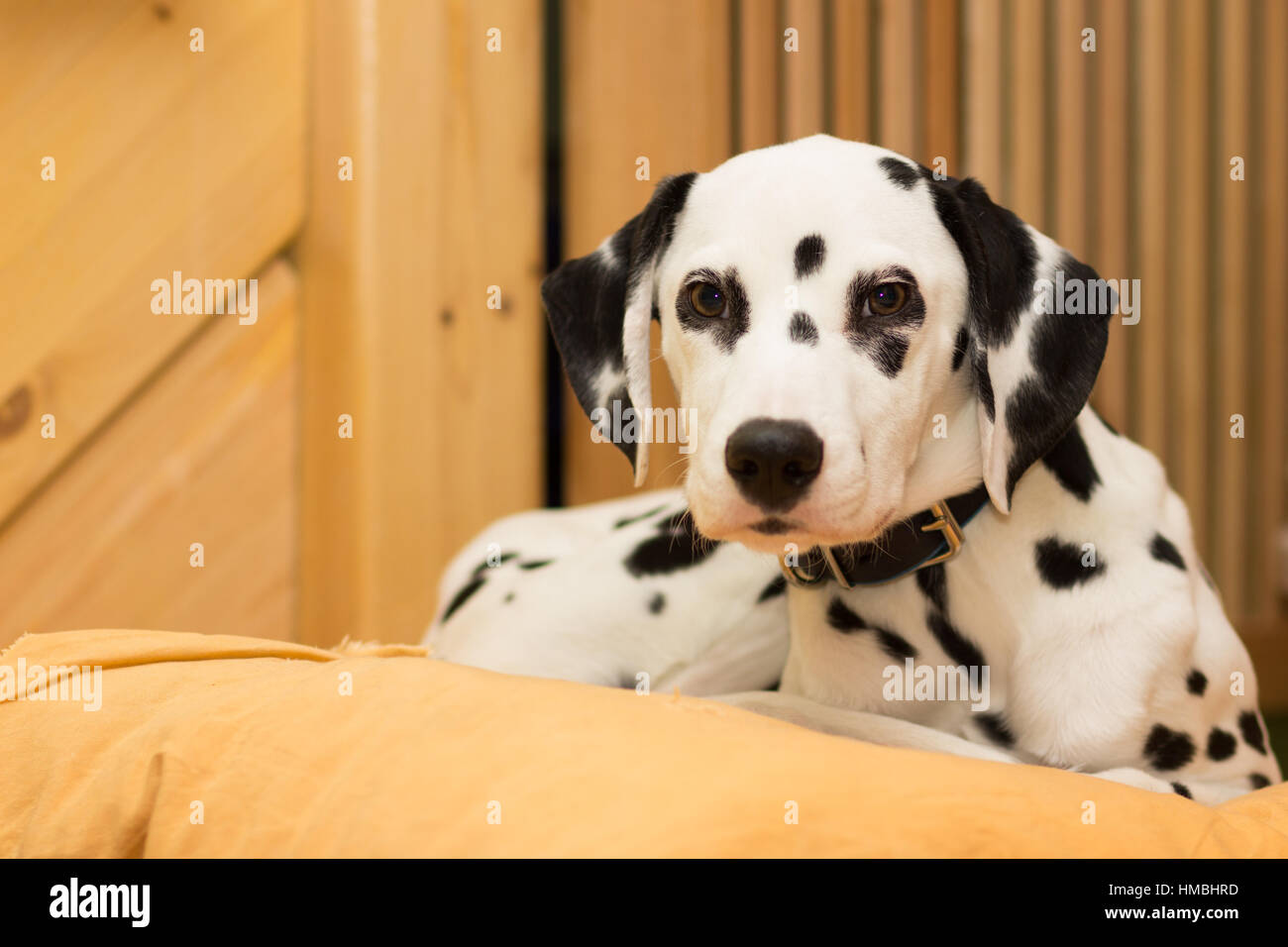 Young dalmatian puppy lying on the pillow - Stock Image
