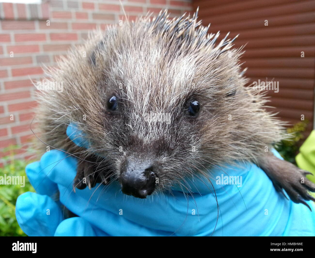 Hedgehog in gloved hands - Stock Image