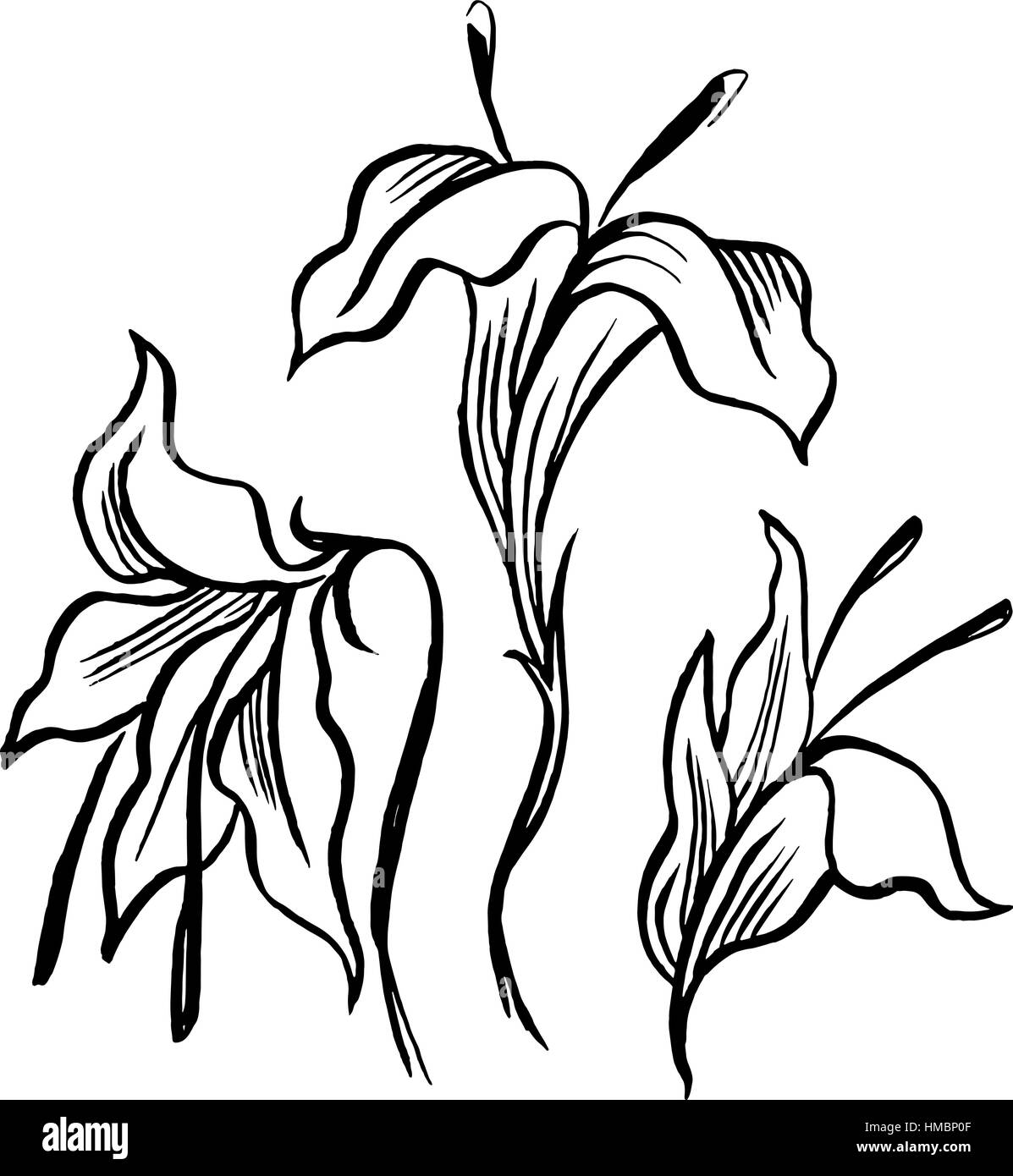 Lily tattoo stock photos lily tattoo stock images alamy vector sketch black contour of lily flowers stock image izmirmasajfo