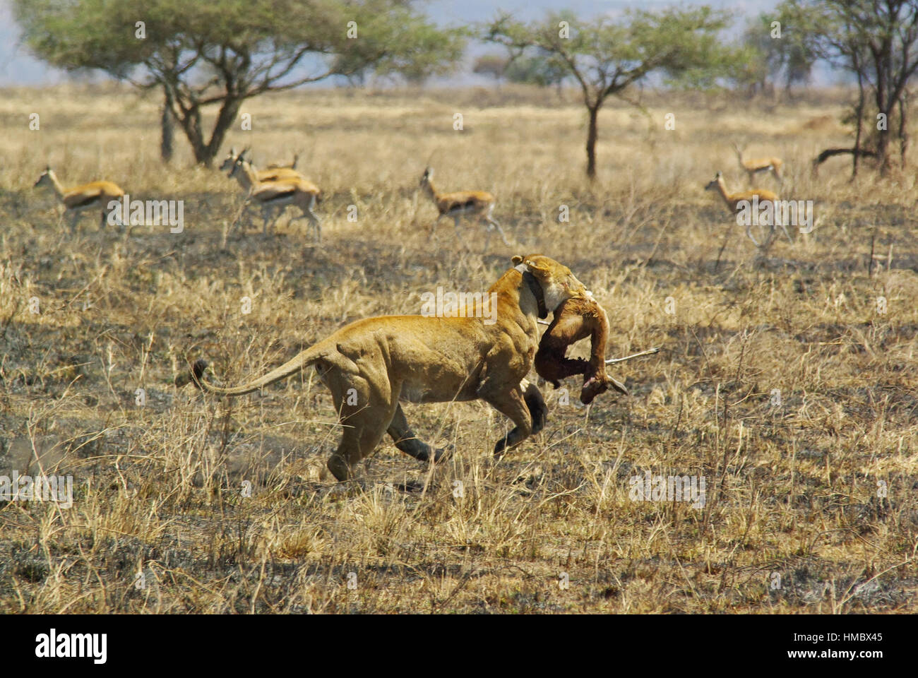 Image result for lion with prey in mouth