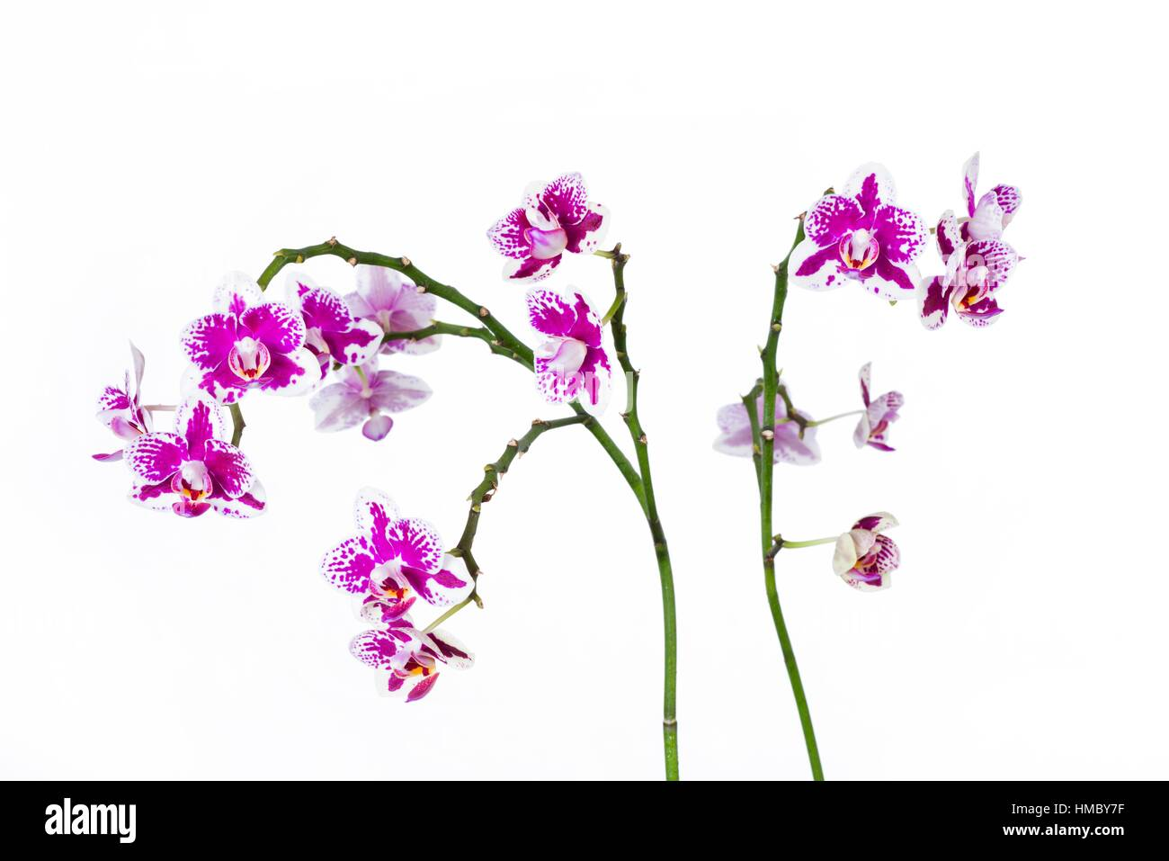 Purple orchid detail isolated on white backdrop. - Stock Image