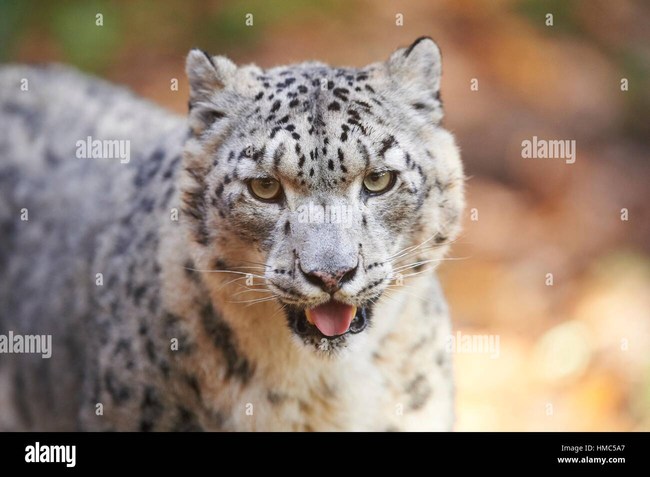 Portrait of a snow leopard (Panthera uncia syn. Uncia uncia) in autumn. Captive. Germany. - Stock Image