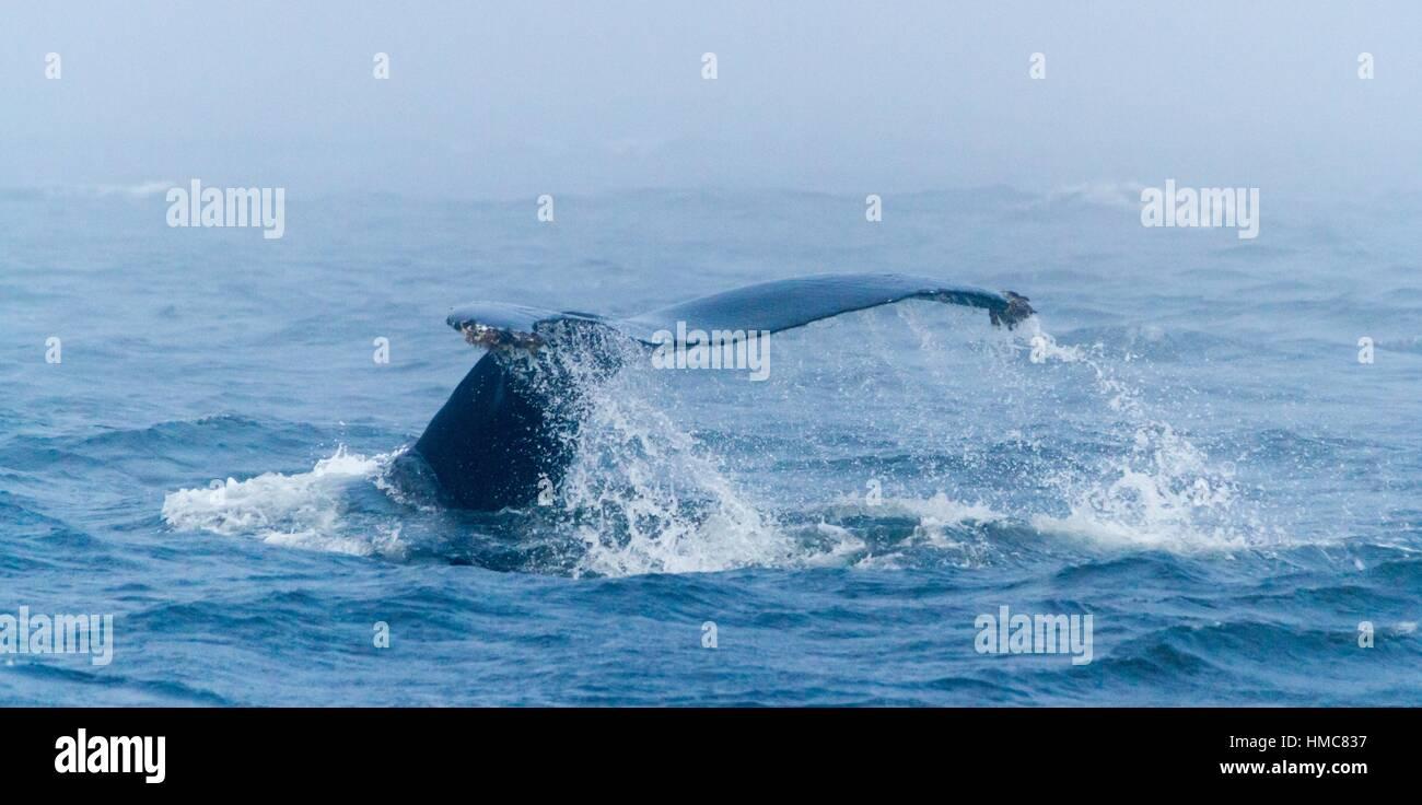 Humpback Whale tail flukein the Monterey Bay, Monterey, California, CA, USA. - Stock Image