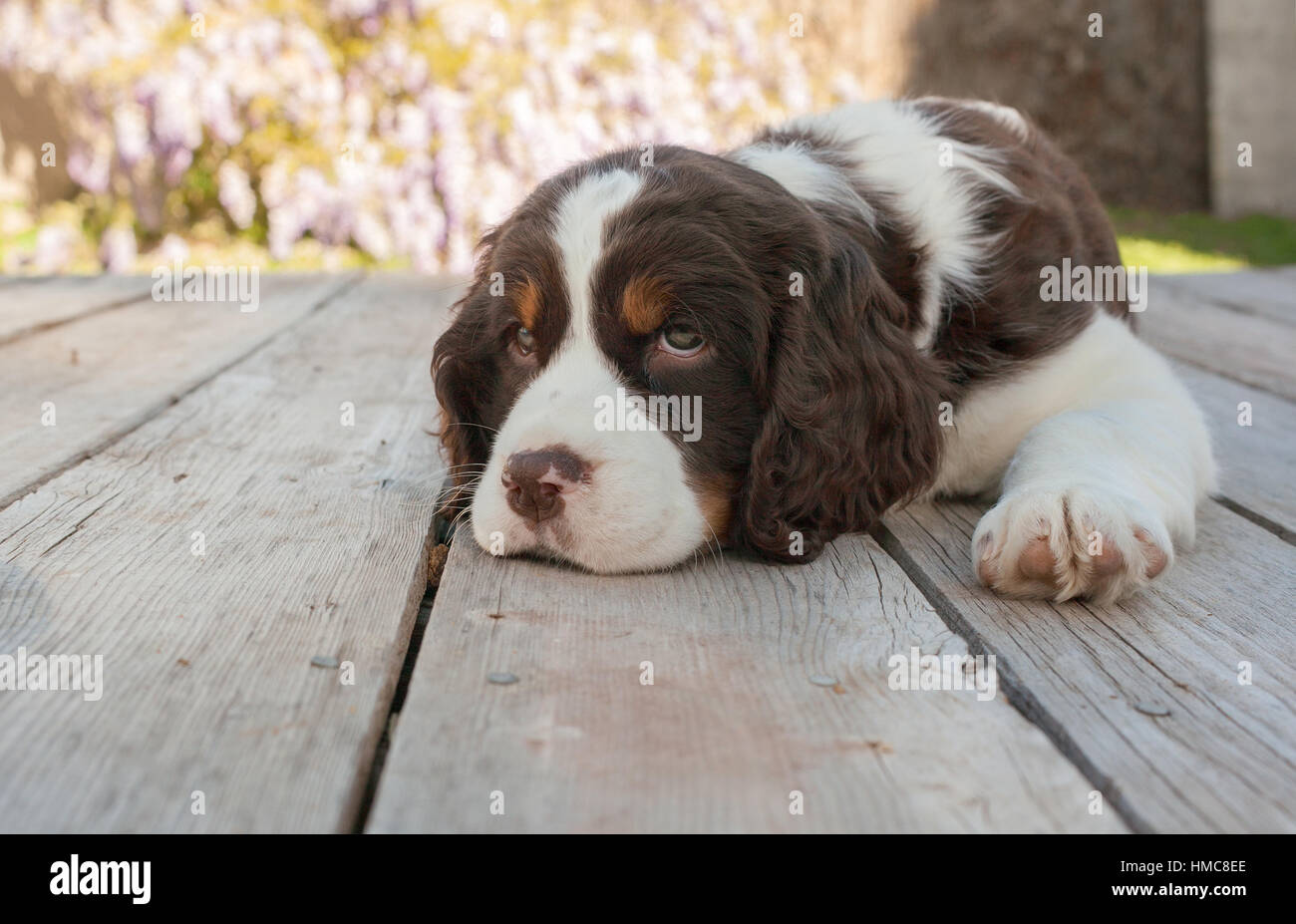 Sweet young springer spaniel puppy dog lays down with her head on the wooden deck.  She is brown and white with - Stock Image